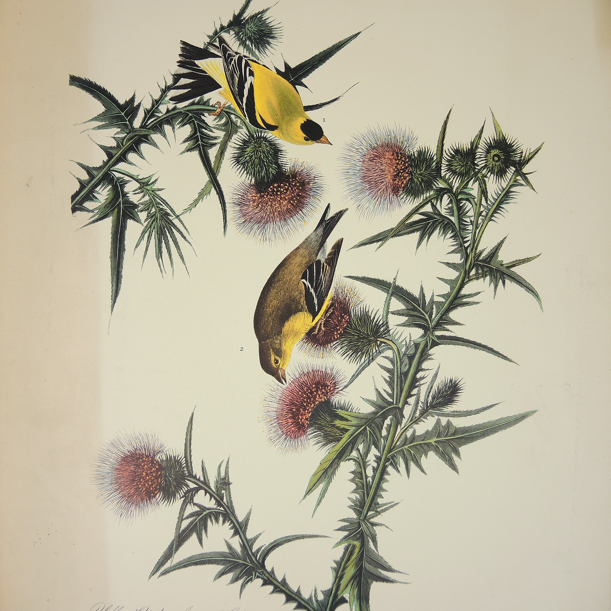 "Print After John J. Audubon and R. Havell ""Yellow Bird or American Goldfinch"""