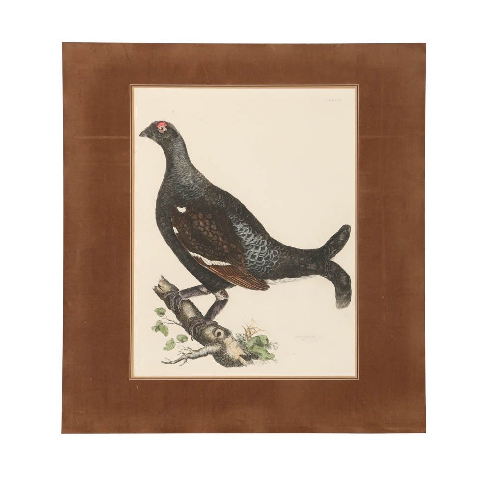 "Prideaux J. Selby Engraving  on Paper ""Black Grouse"""