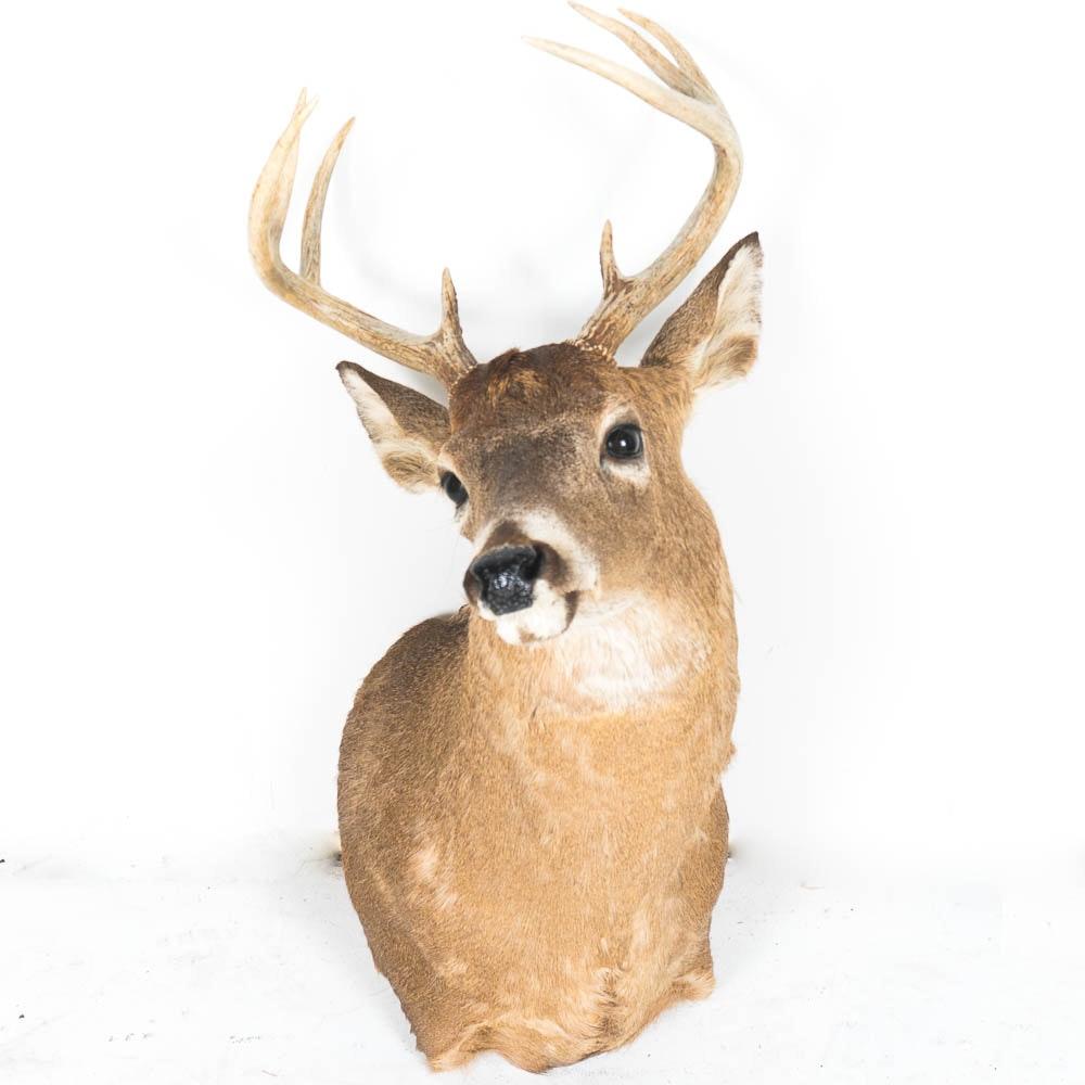 Mounted Taxidermy Deer Head