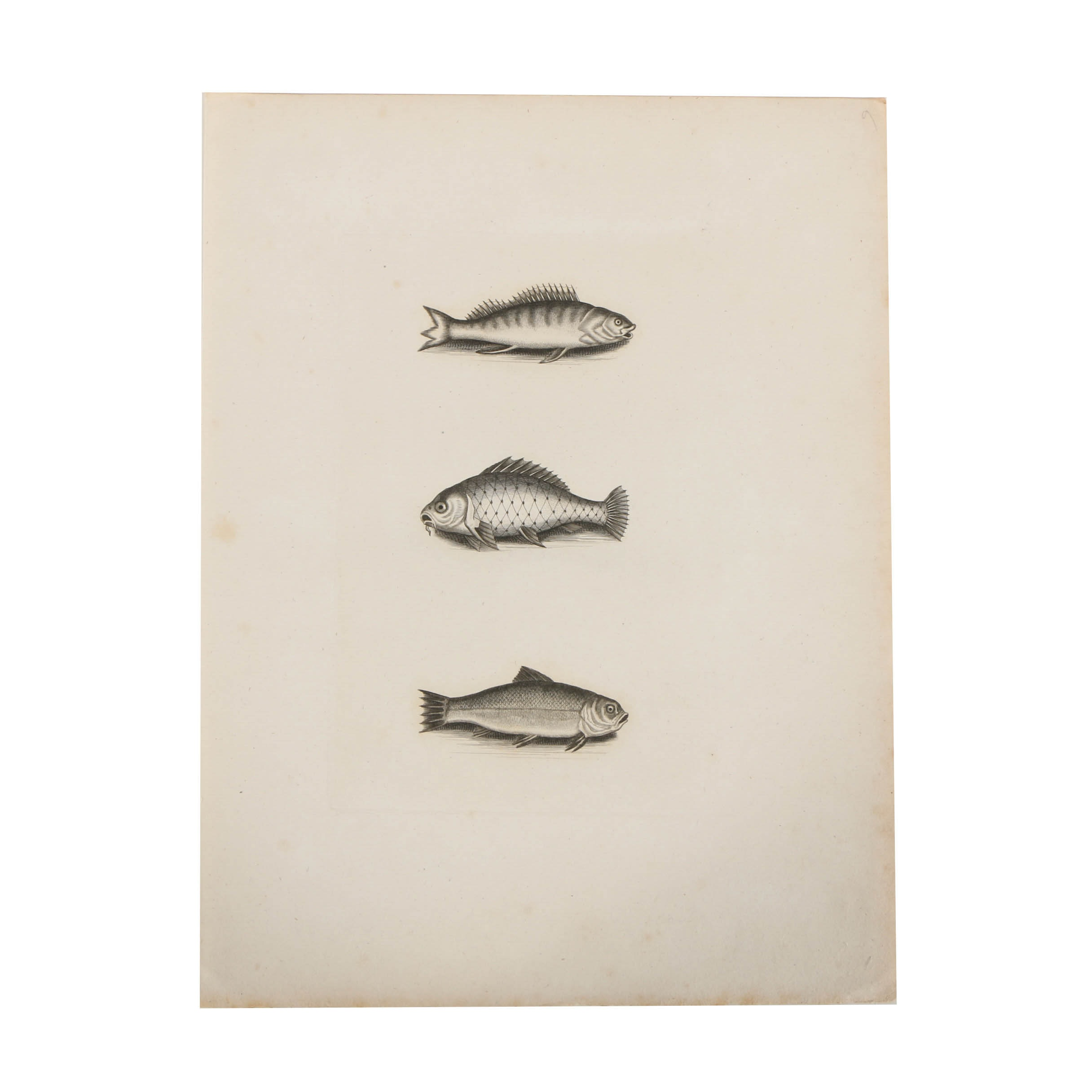 Etching on Paper of Fish