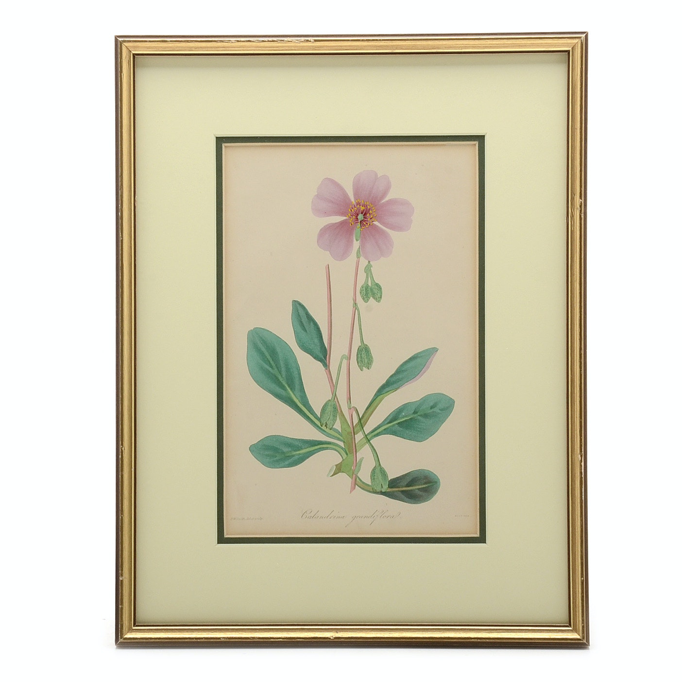 Antique Hand-colored Botanical Engraving