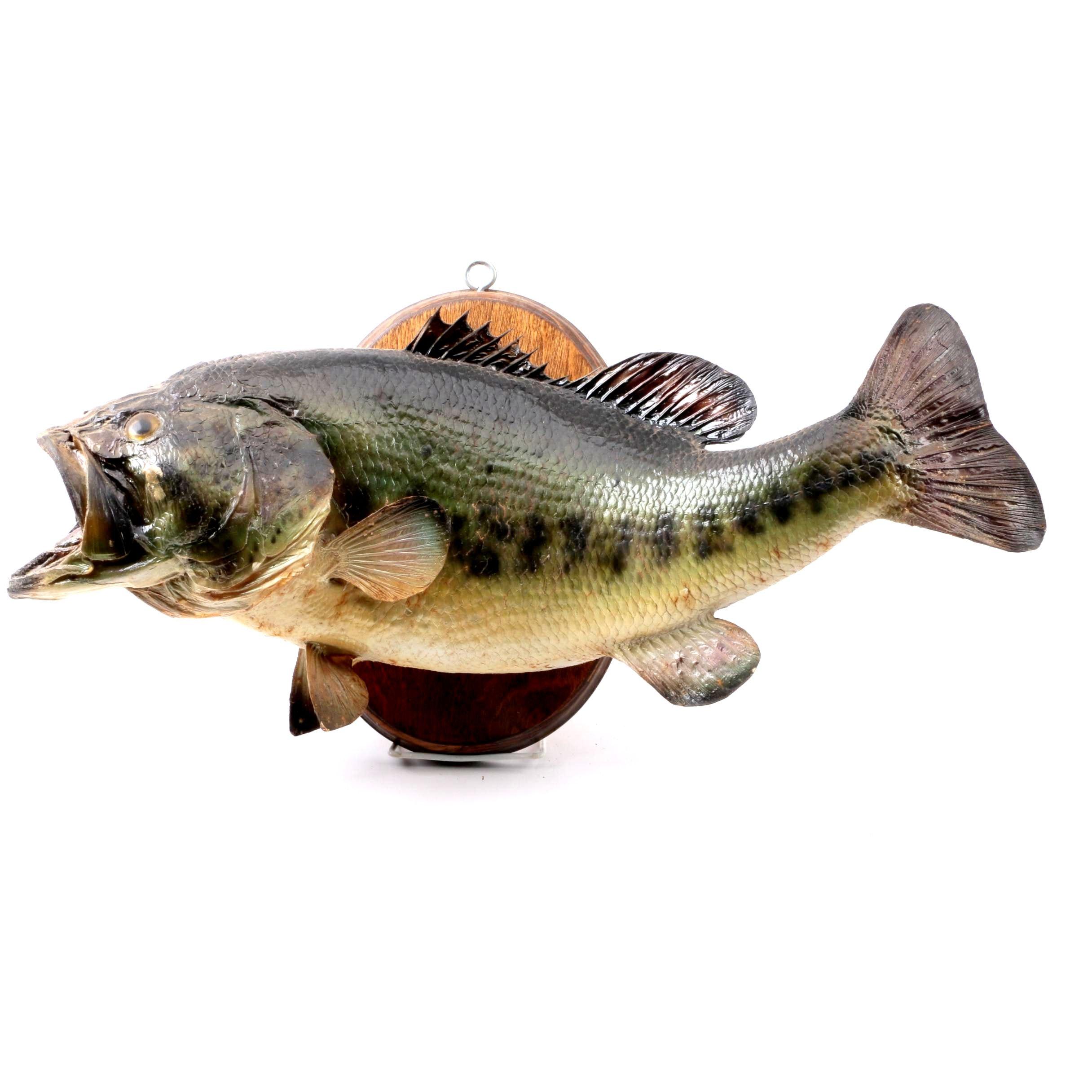 Taxidermy Largemouth Bass