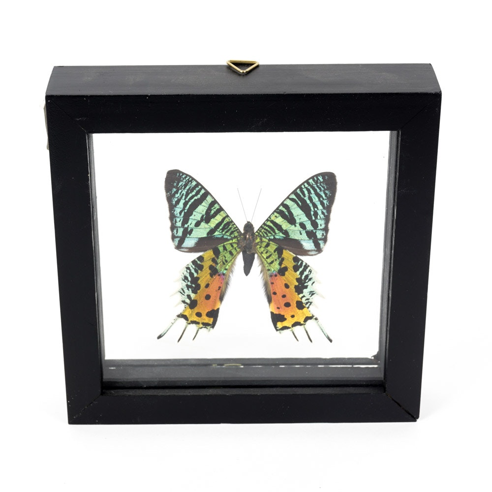 Madagascan Sunset Moth in Shadow Box