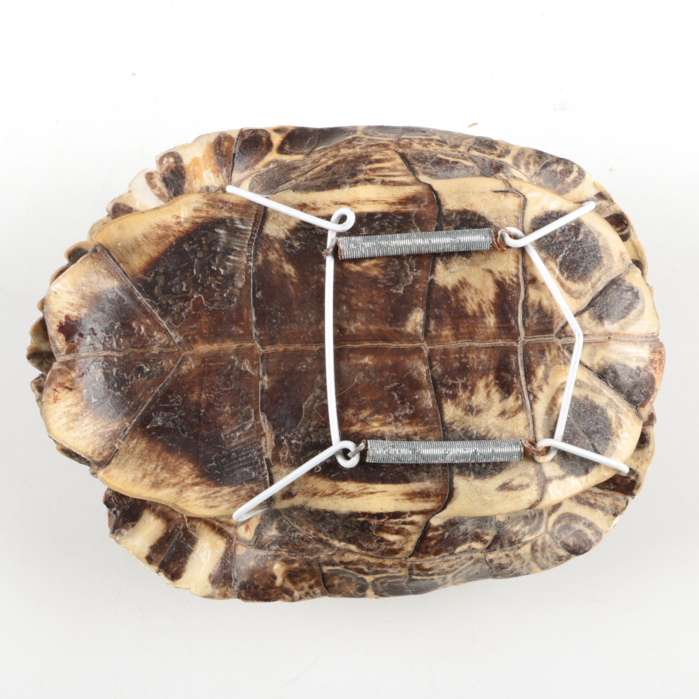 male turtle shells ebth. Black Bedroom Furniture Sets. Home Design Ideas