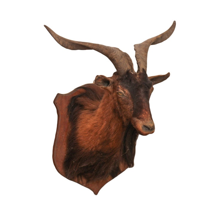 Taxidermy Horned Goat Head Mount