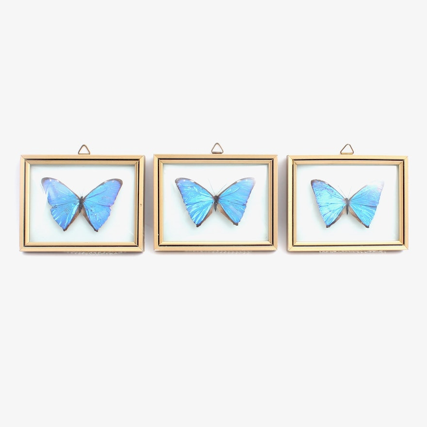 Framed Morpho Blue Butterfly Specimens : EBTH