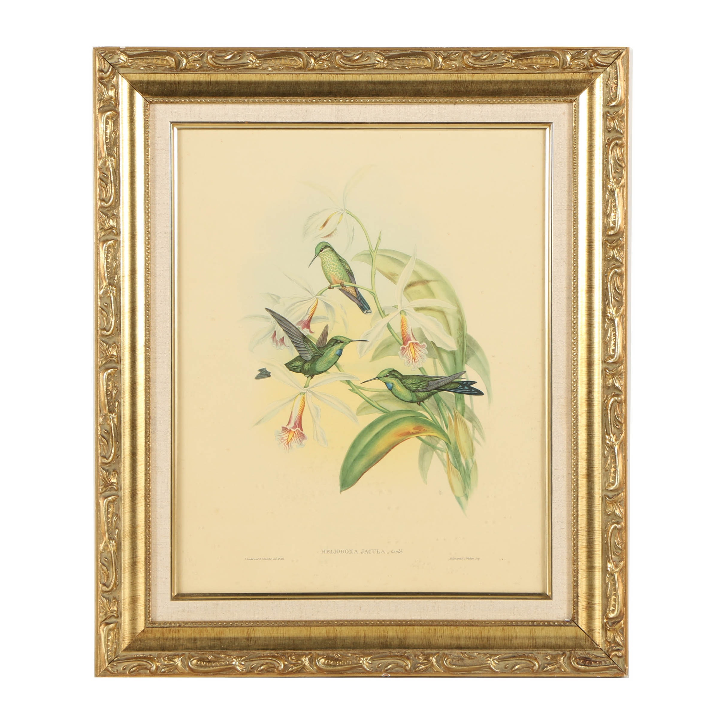 Offset Lithograph on Paper After John Gould of Hummingbirds