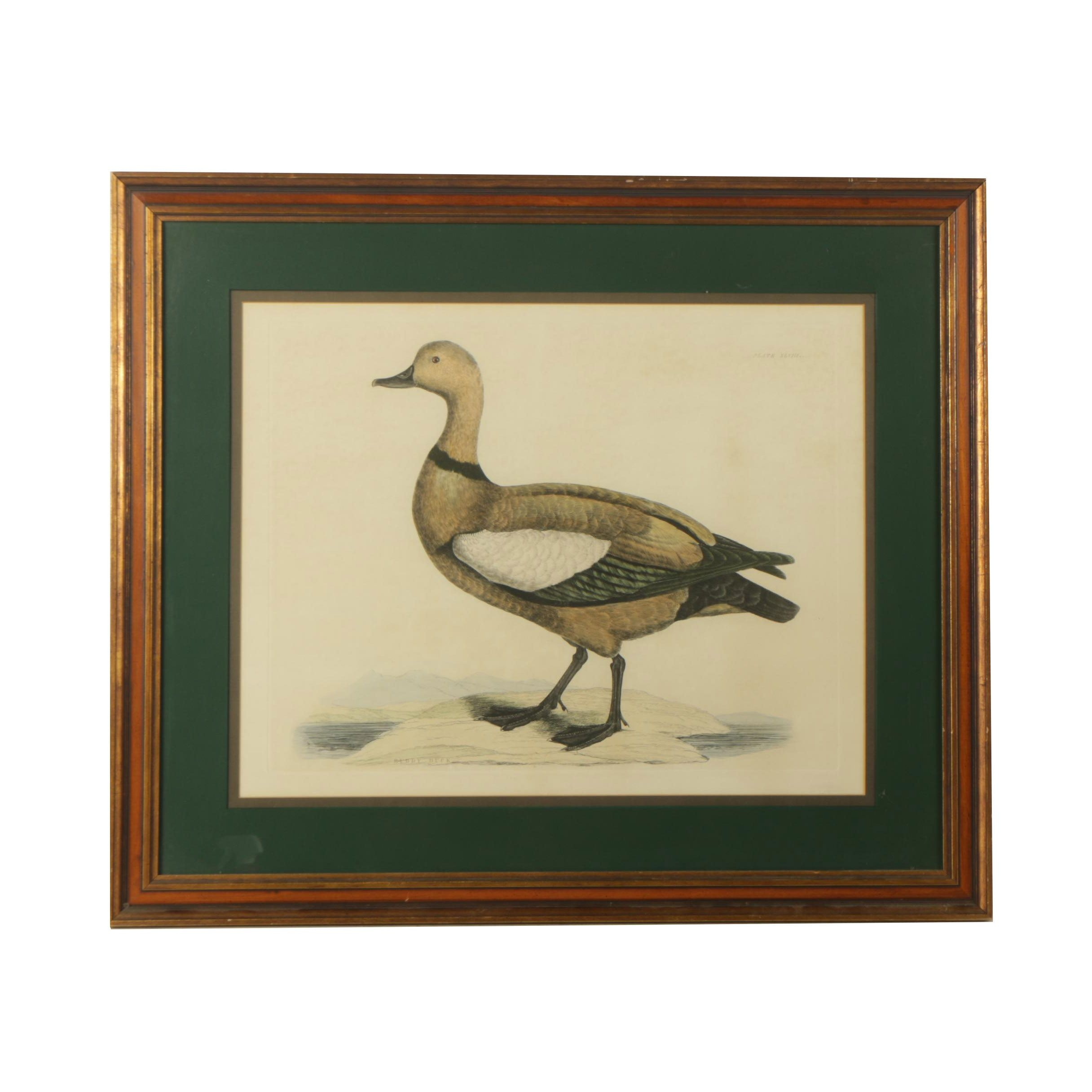 "Hand Colored Etching on Paper After John Prideaux Selby ""Ruddy Duck"""