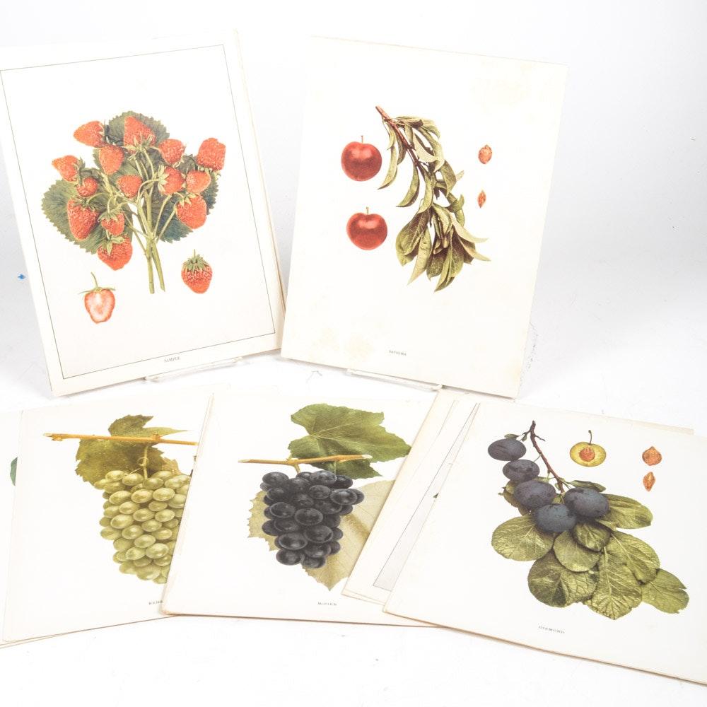 Antique Offset Lithograph Fruit Prints