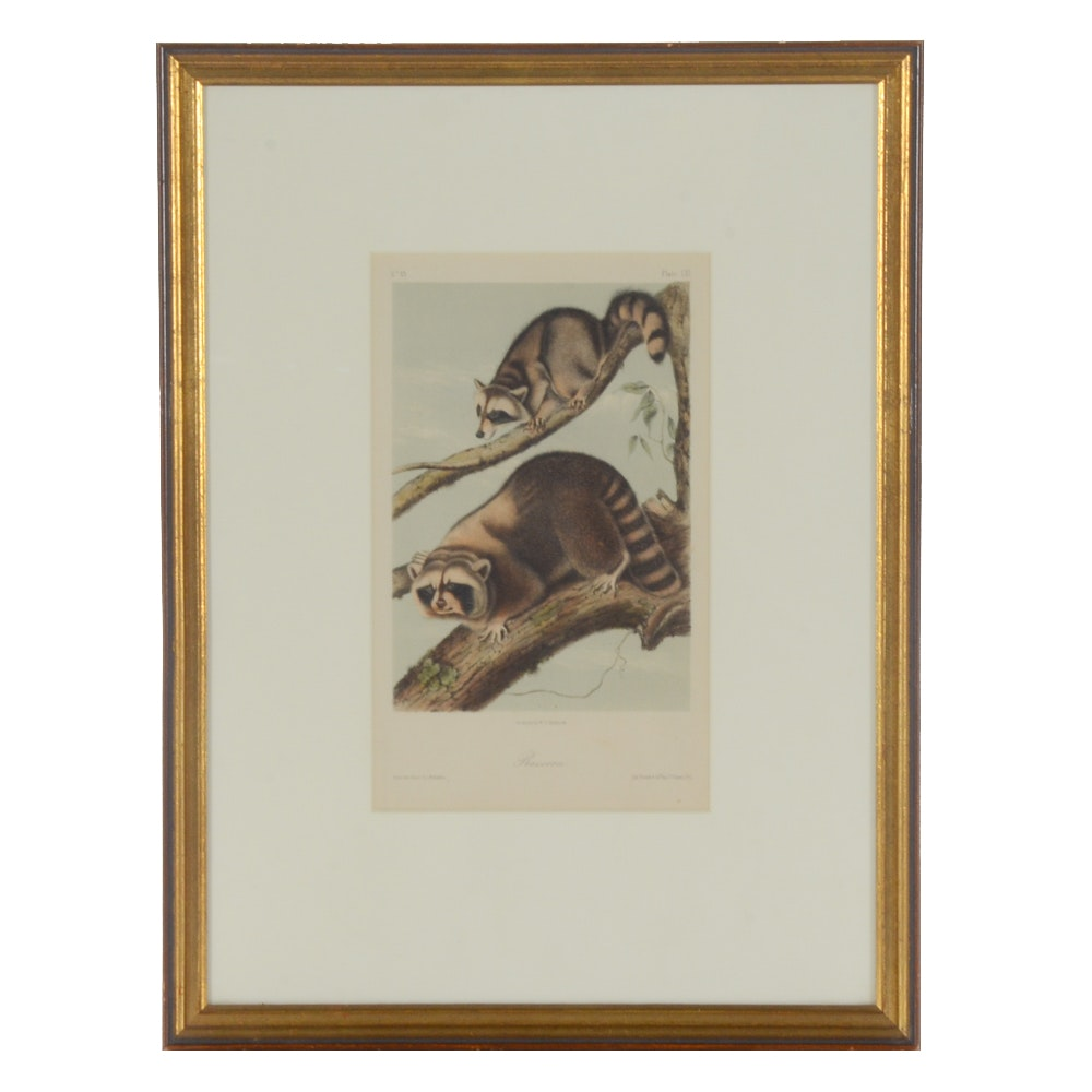 "Antique Hand-colored Lithograph after John J. Audubon ""Raccoon"""