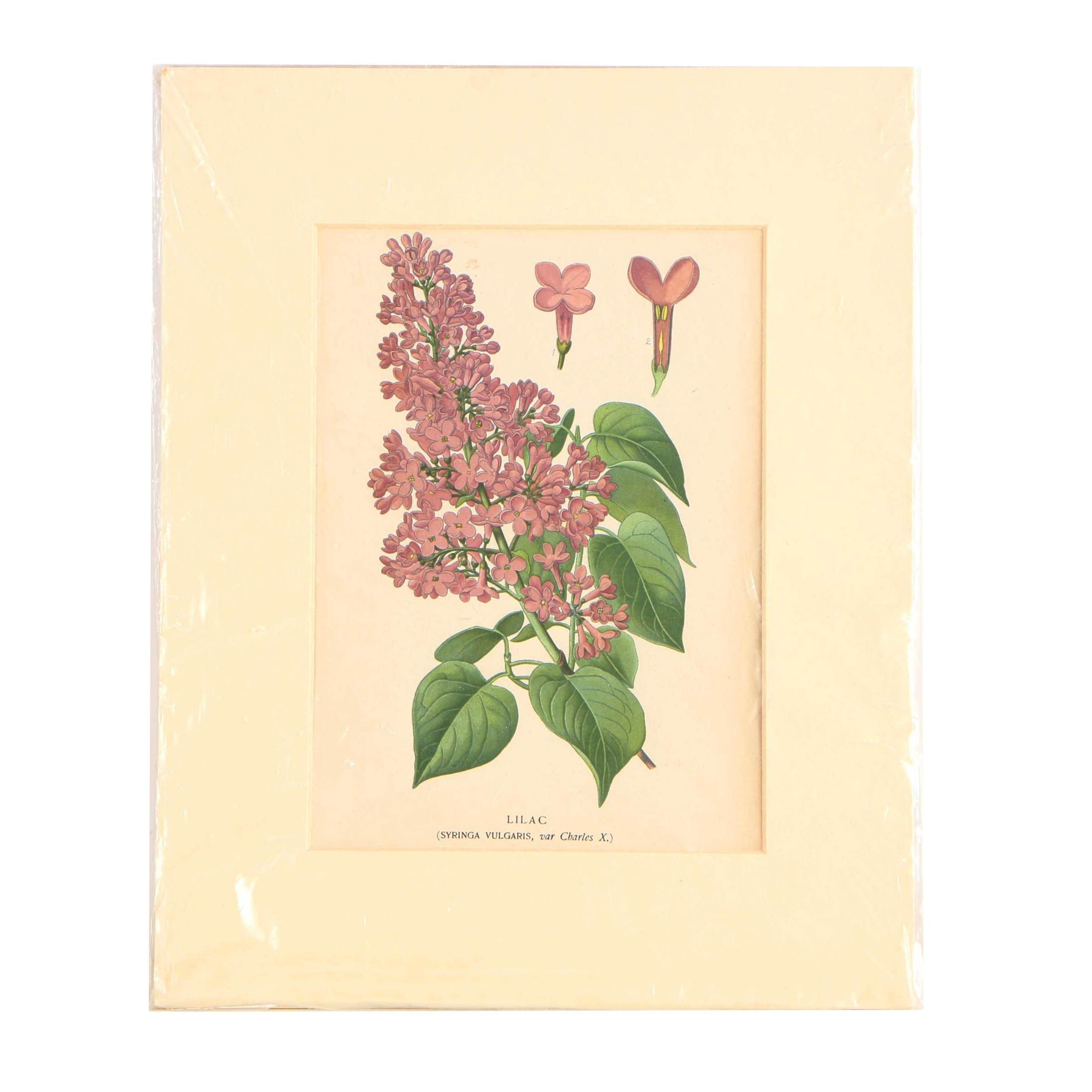 "Botanical Lithograph ""Lilac"" from ""Favourite Flowers of Garden and Greenhouse"""
