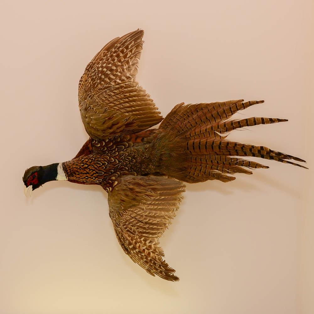 Taxidermy Pheasant