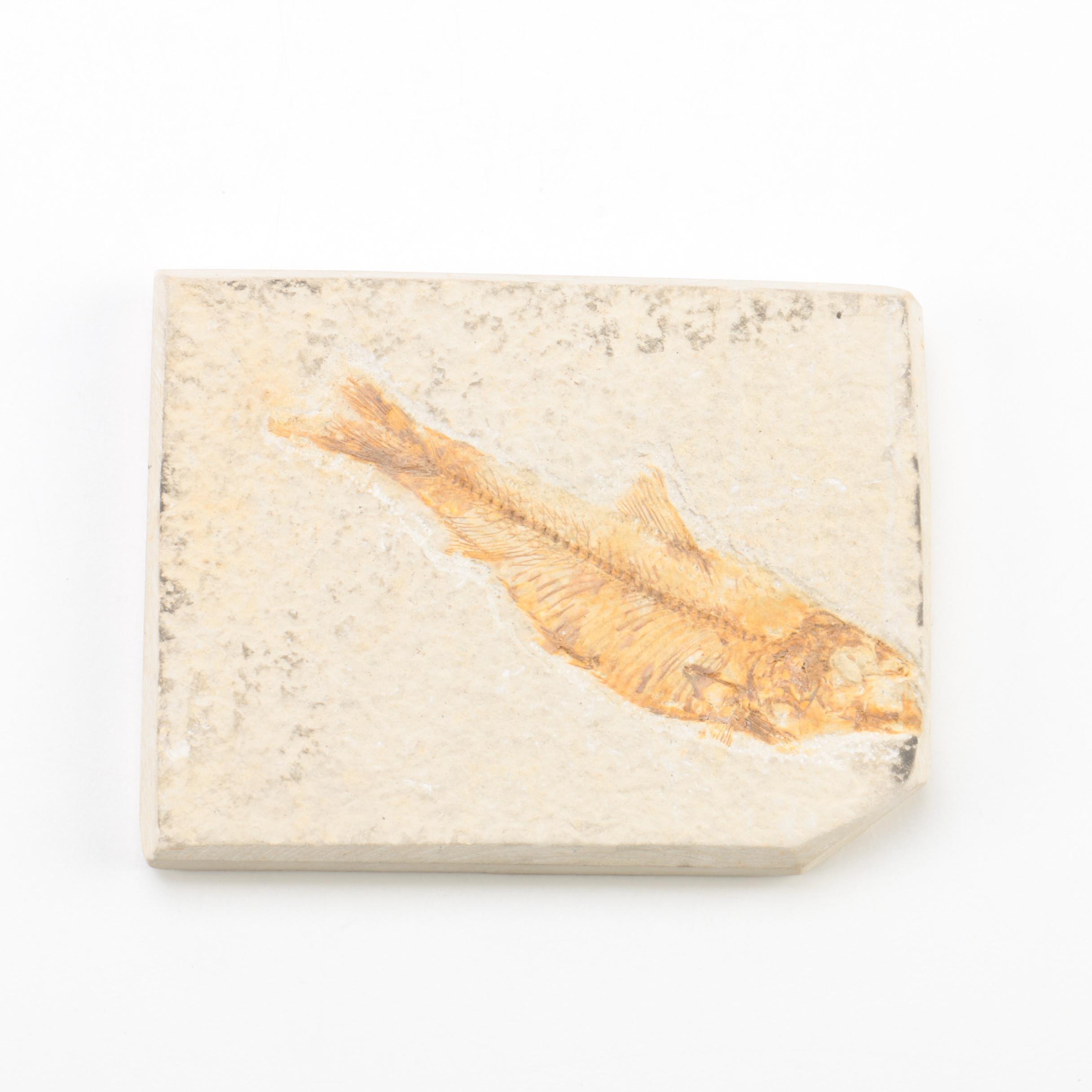 """Knightia"" Fossil Fish Specimen"