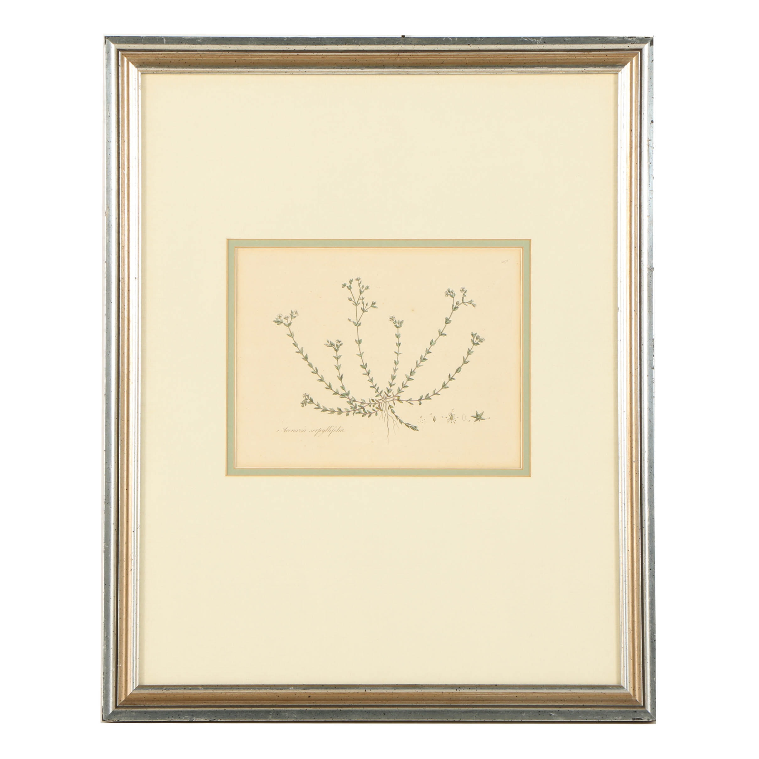 "Hand-Colored Engraving ""Arenaria Serpyllifolia"""