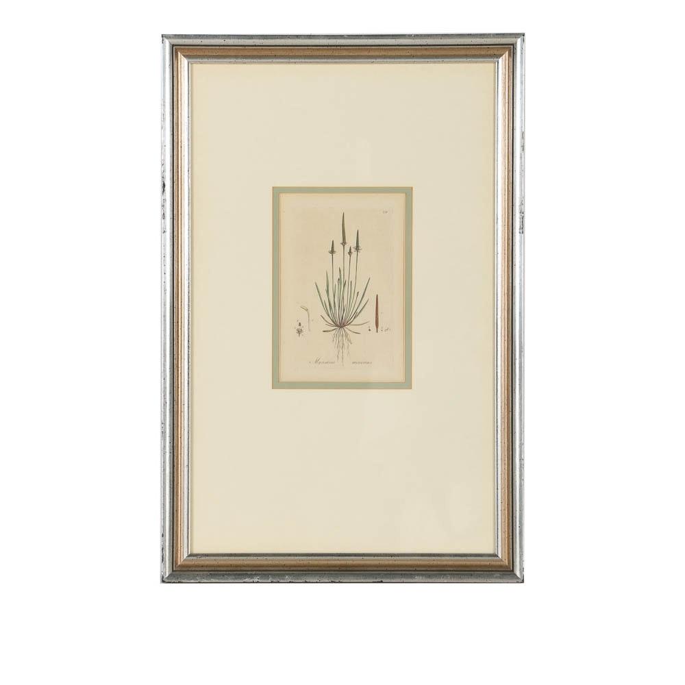 "Hand-Colored Engraving ""Myosurus Minimus"""