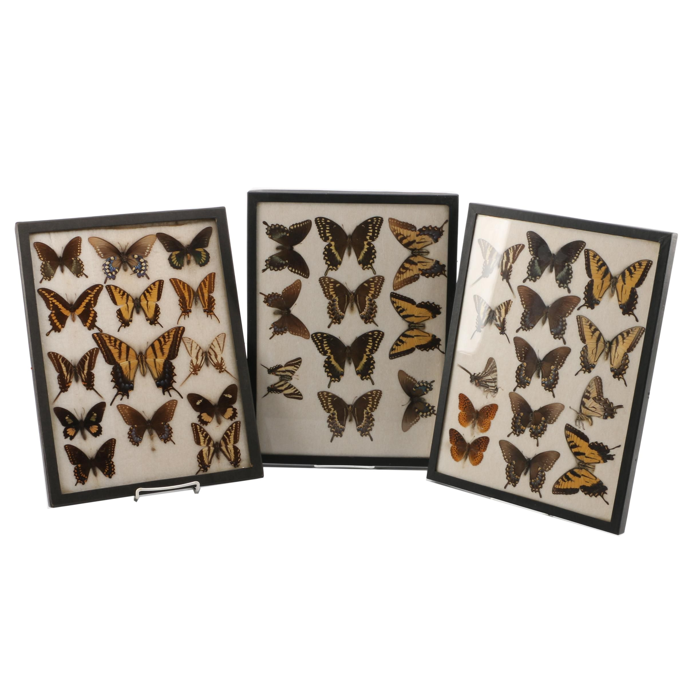 Framed Preserved Butterfly Collection