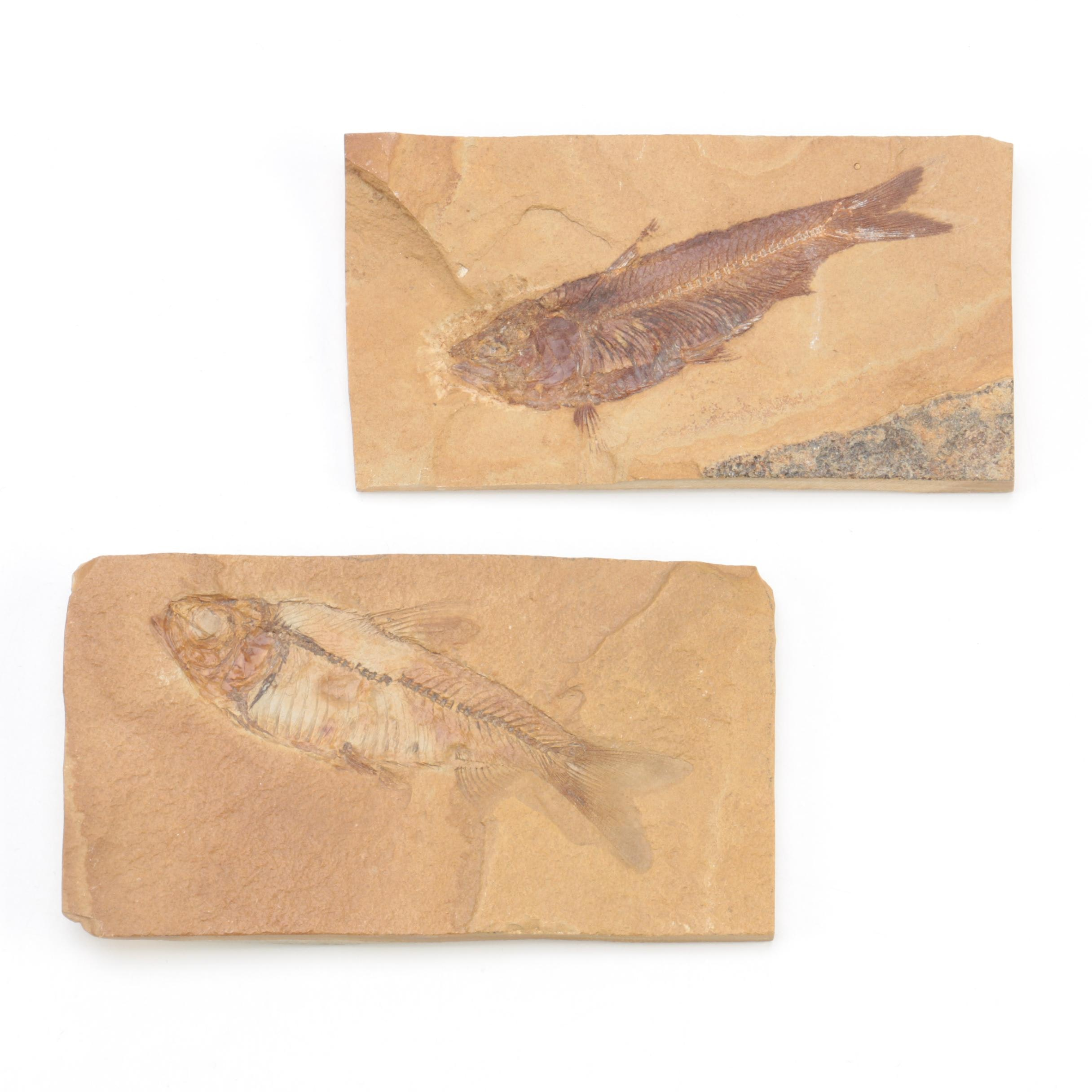 "Fossil ""Knightia"" Specimens"