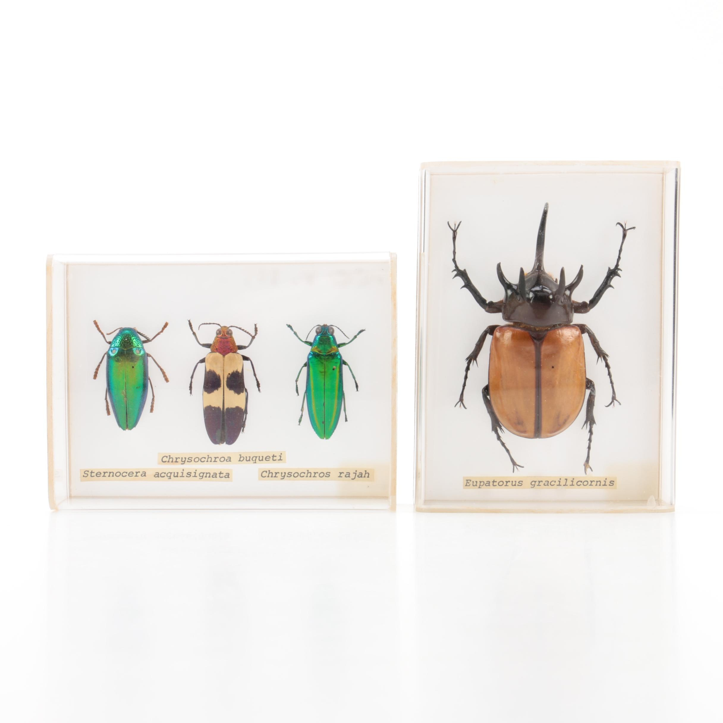 Recent Beetle Specimens