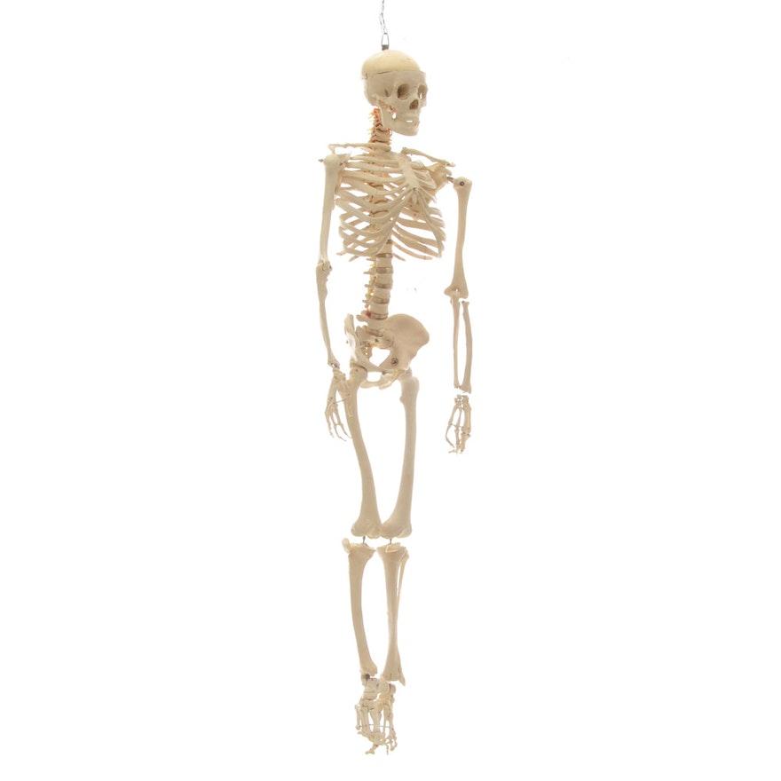 Anatomical Human Skeleton Model Ebth