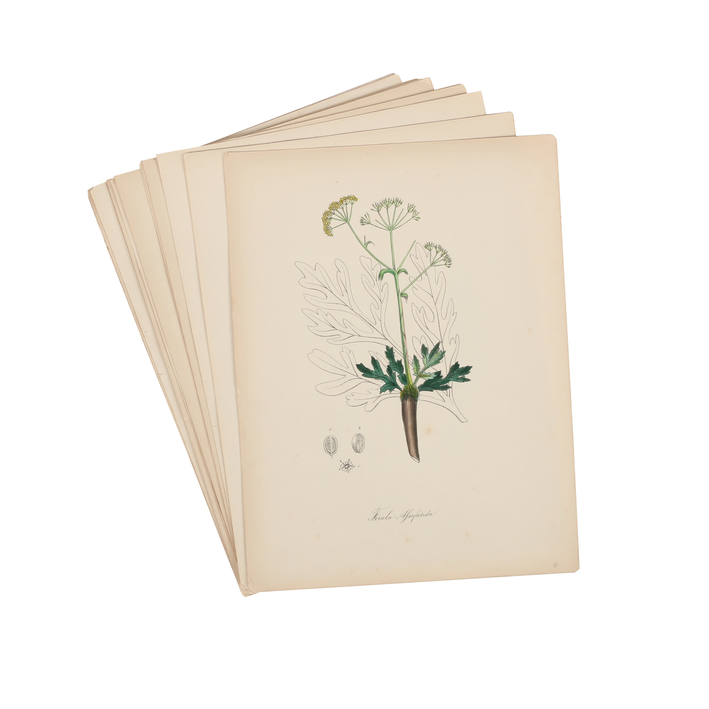 Collection of Botanical Lithographs