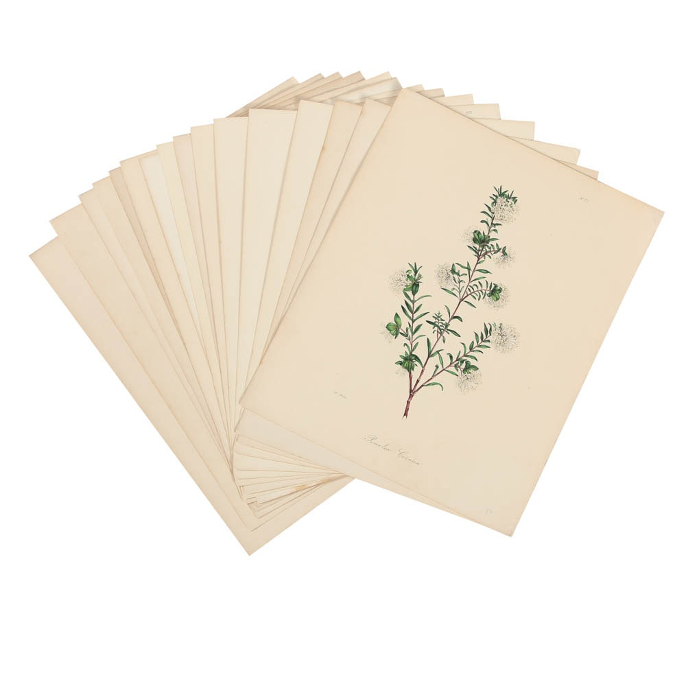 Hand-Colored Botanical Lithographs on Paper
