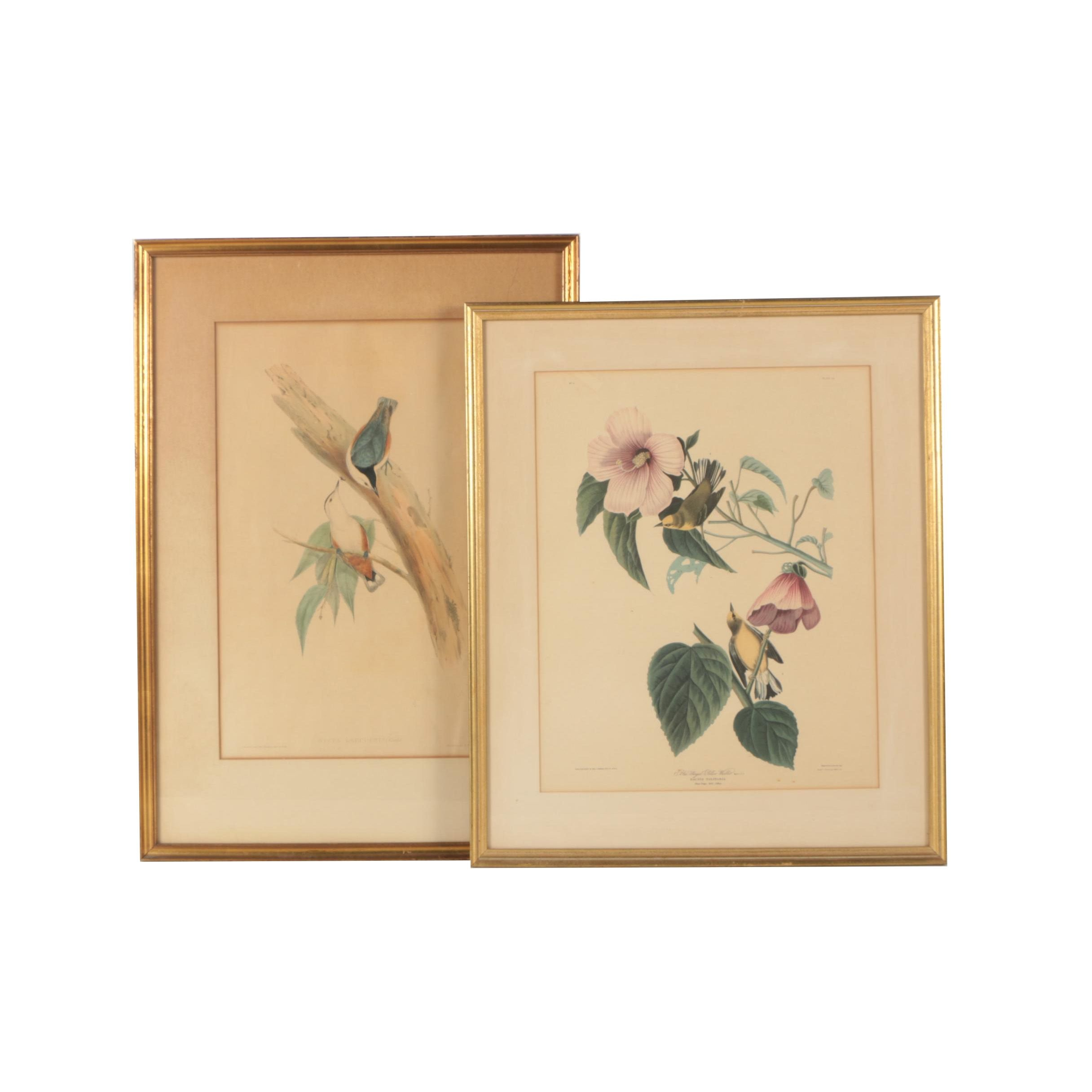 Offset Lithograph After Audubon and Lithograph After Gould