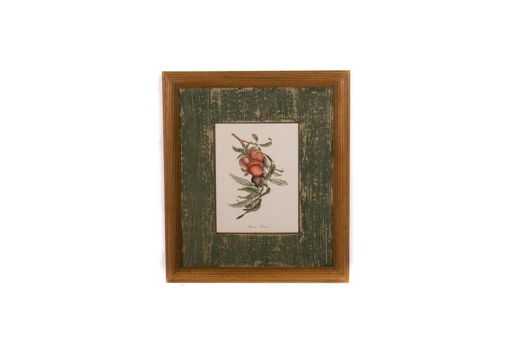 "Offset Lithographic Peach Botanical Print ""Prunus Persica"""