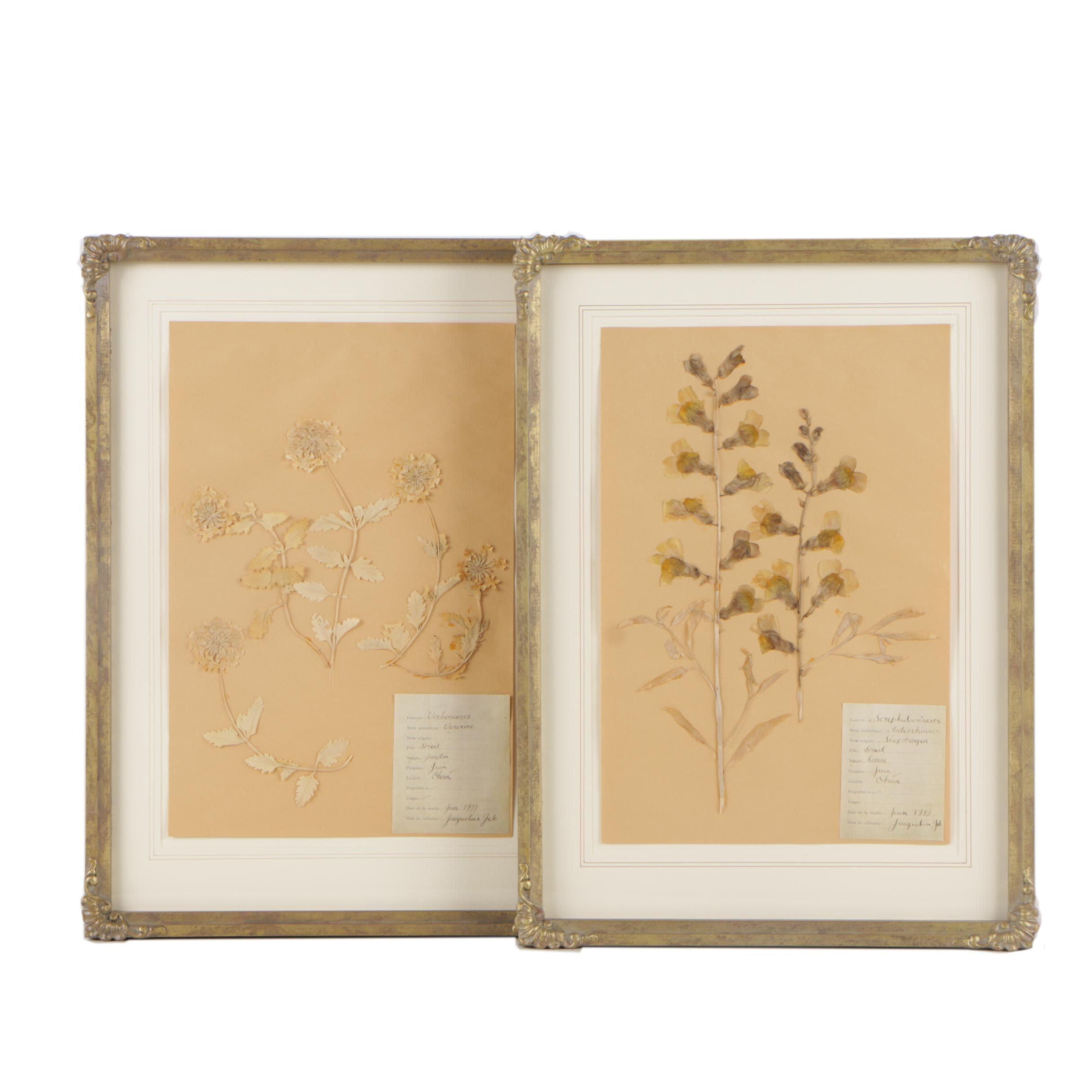Framed Displays of Pressed Herbarium Specimens