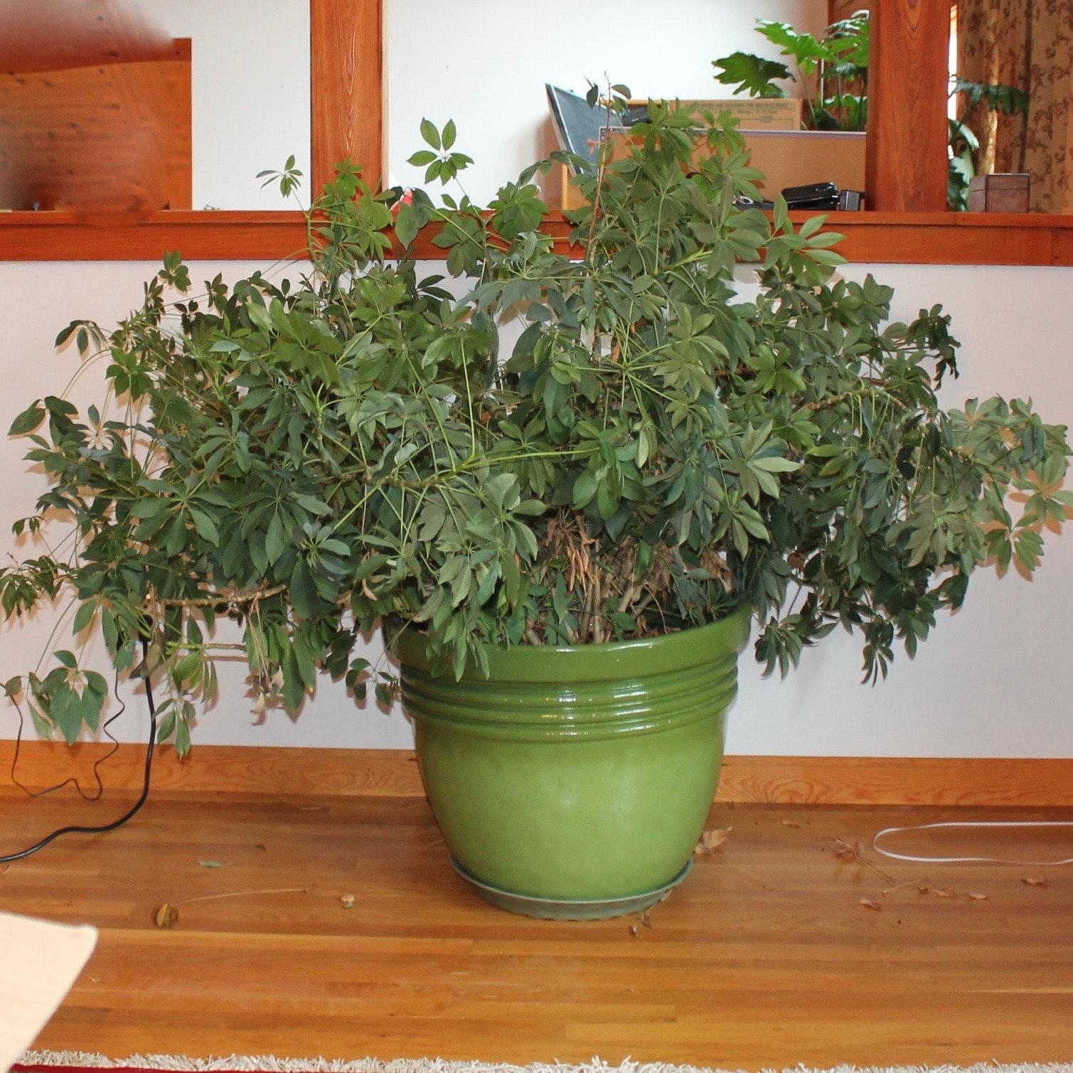 Large Indoor Live Plant