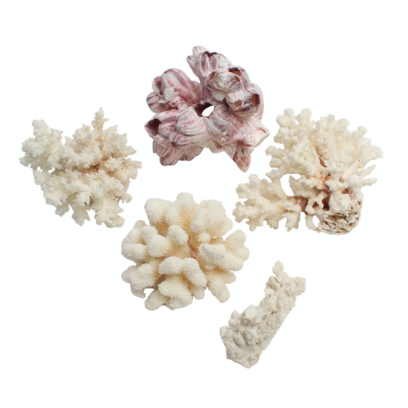 Assorted Coral Specimens and Barnacle Shell Cluster