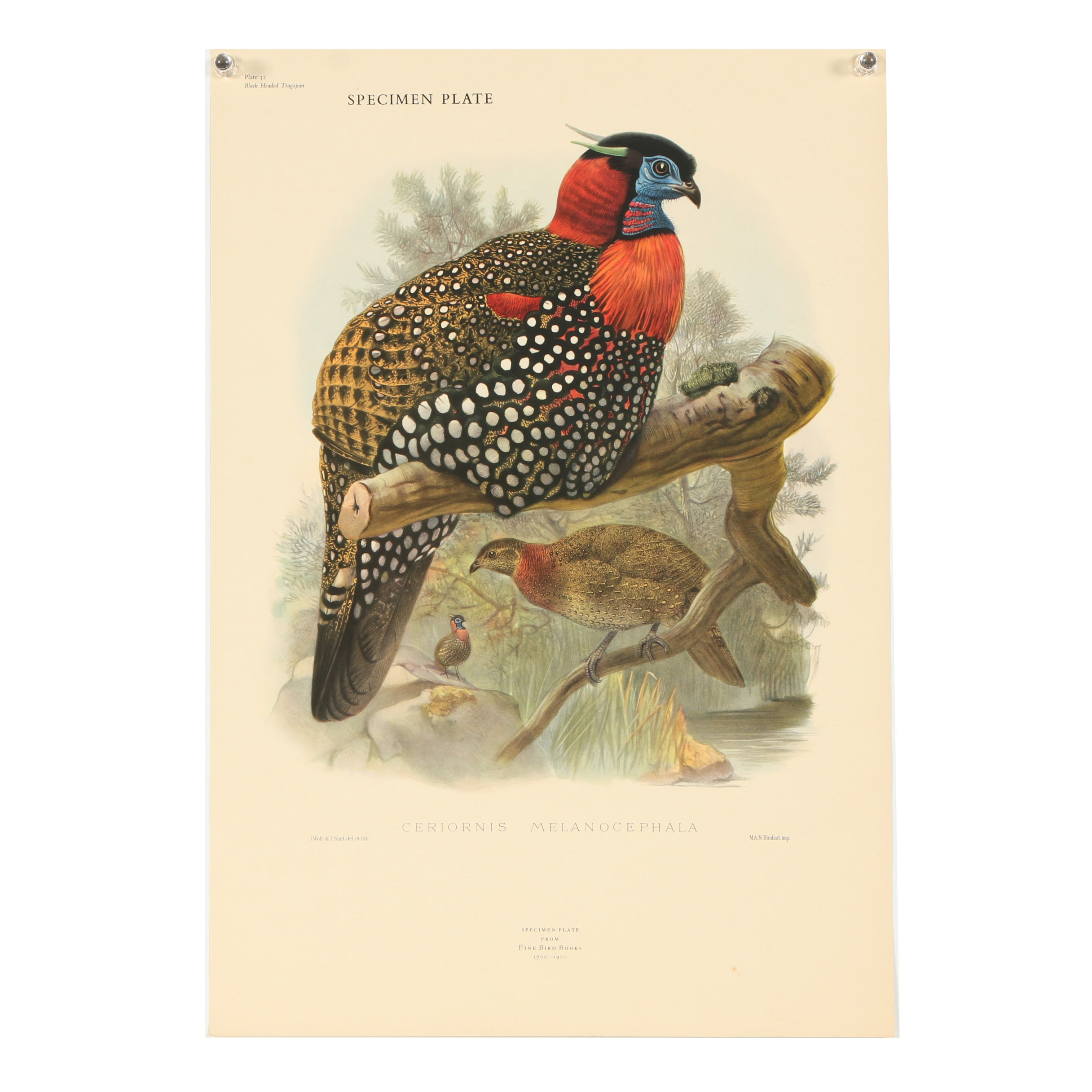 "Reproduction Offset Lithograph ""Ceriornis Melanocephala"""