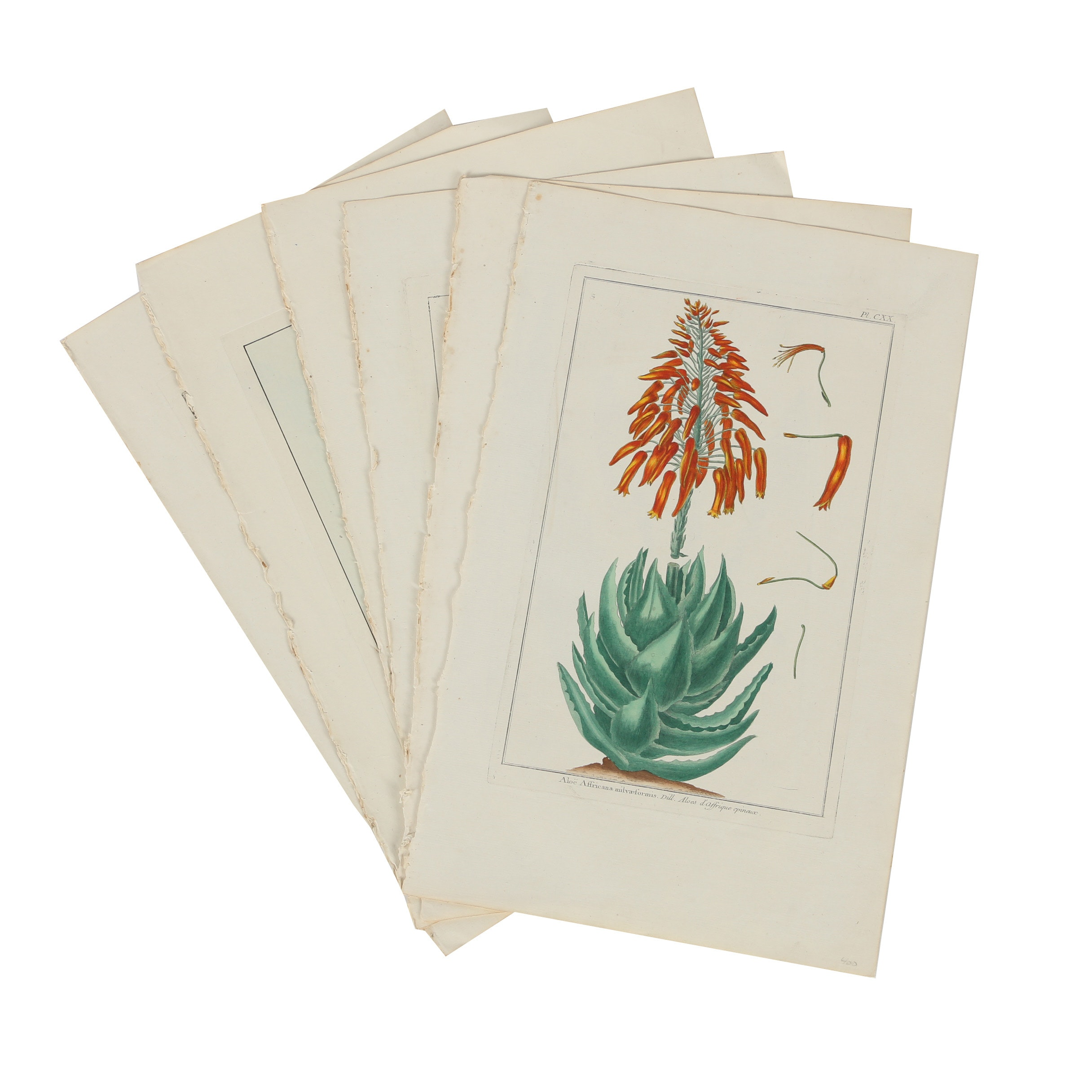 Hand Colored Reproduction Botanical Lithographs