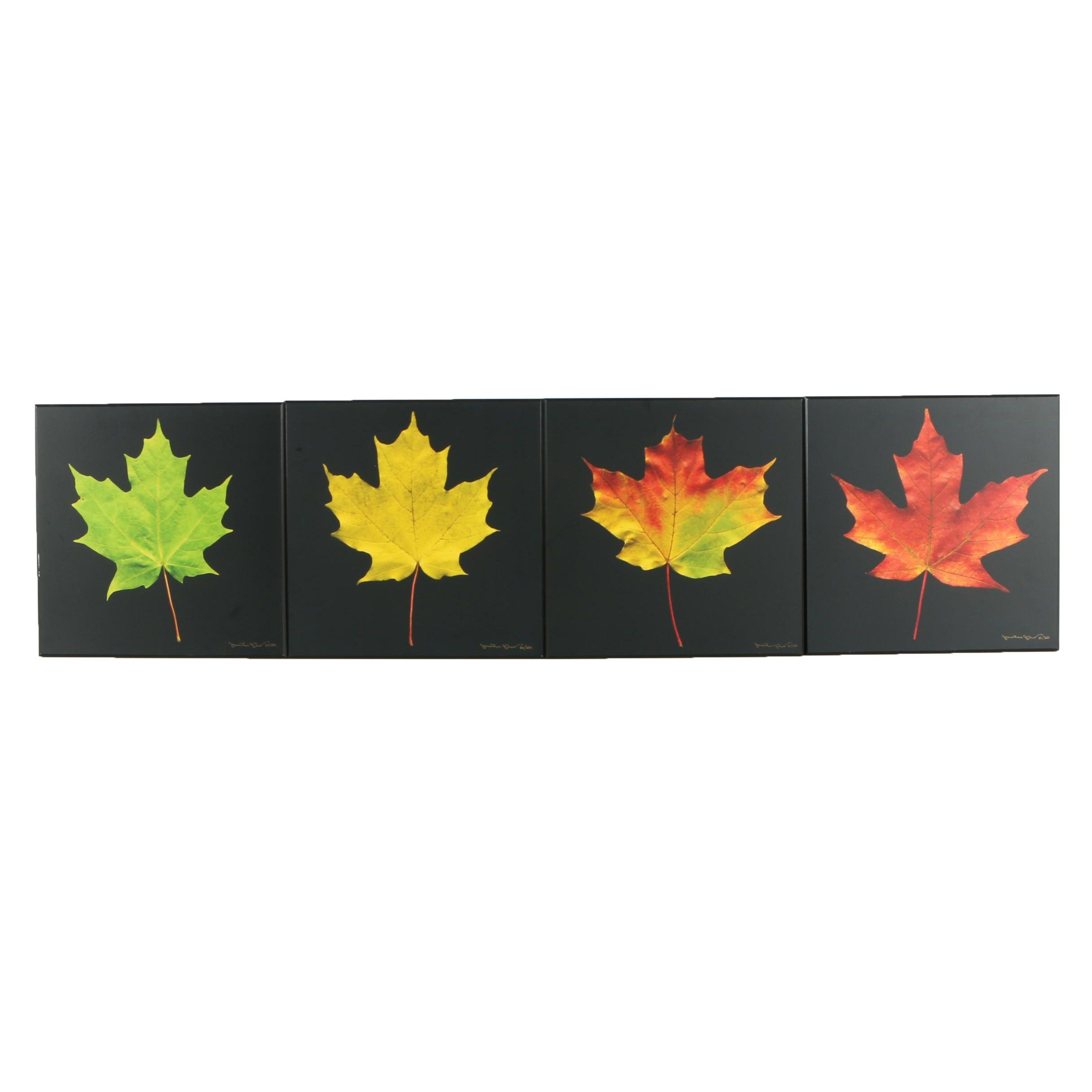 Jonathan Shuff Limited Edition Giclées of Maple Leaves