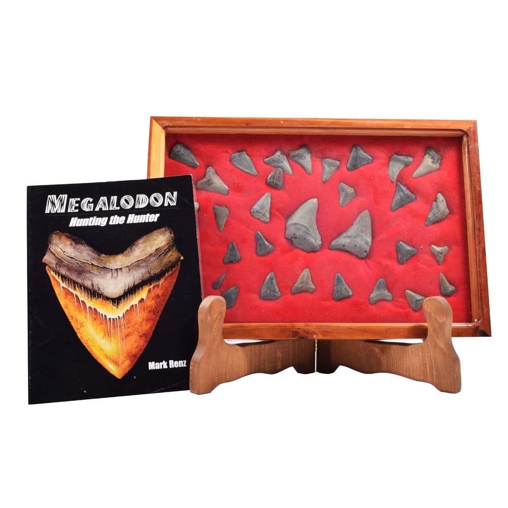 Shark Teeth Specimens and Display Case