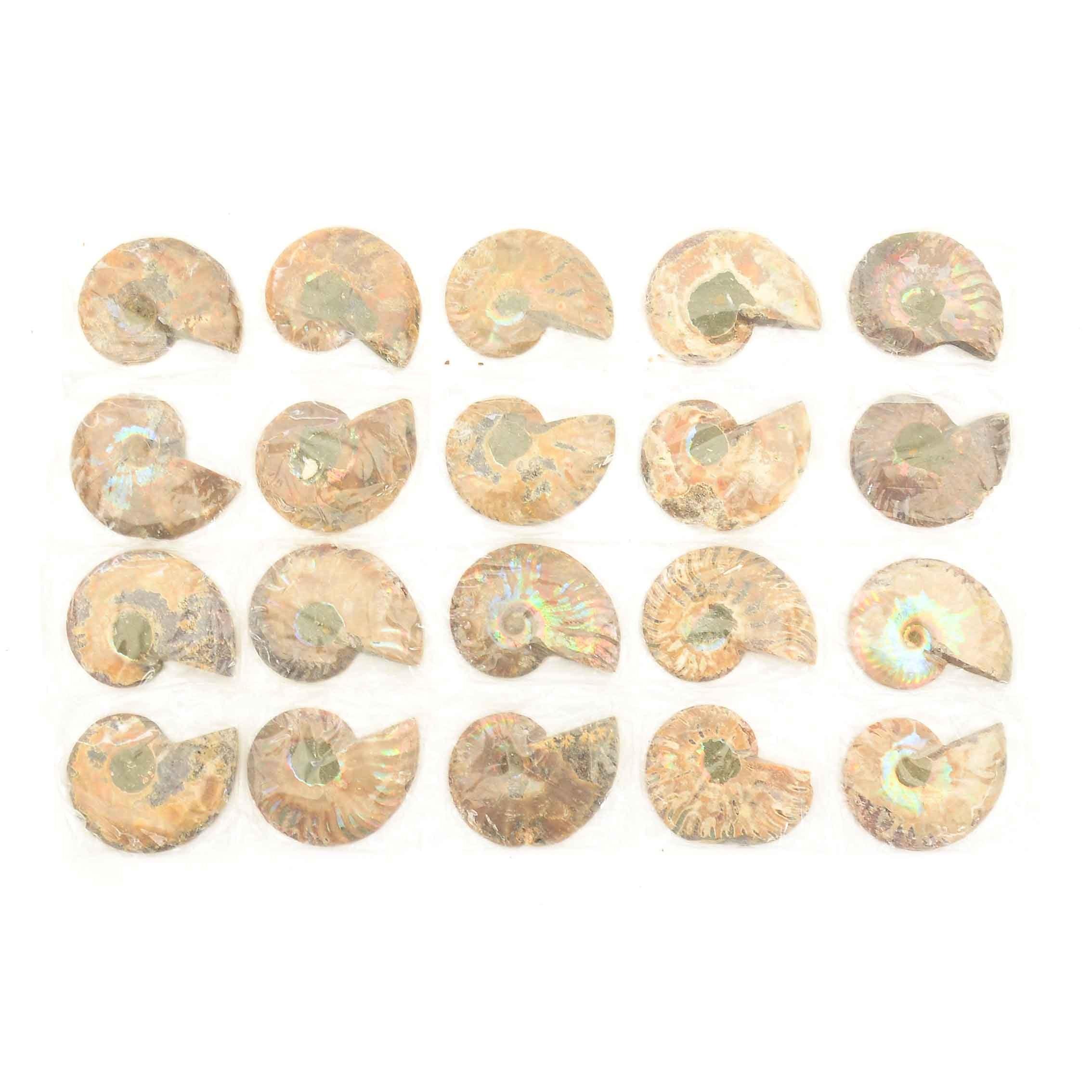 Coiled Ammonoid Specimens