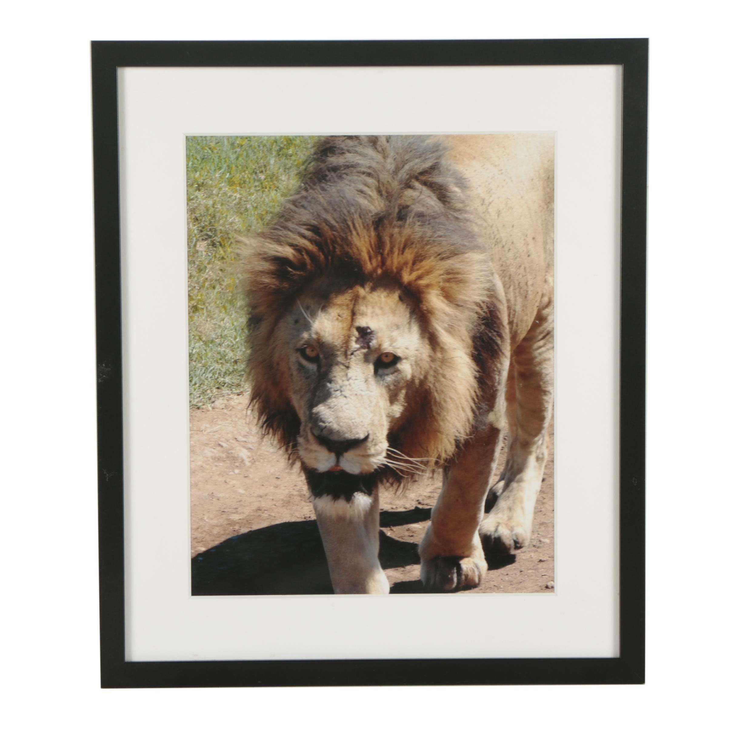 Contemporary Color Photograph of a Lion