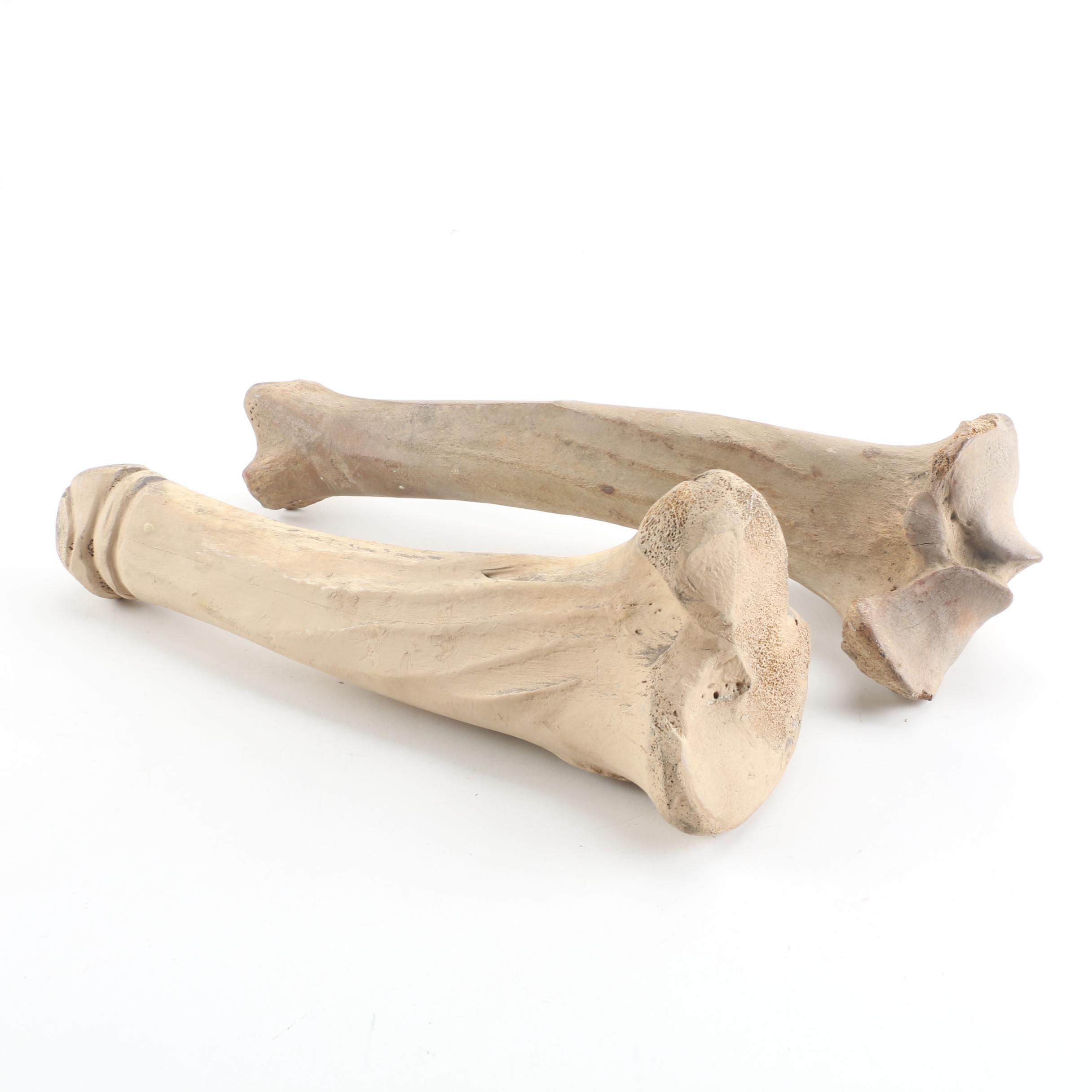 Bison Femurs