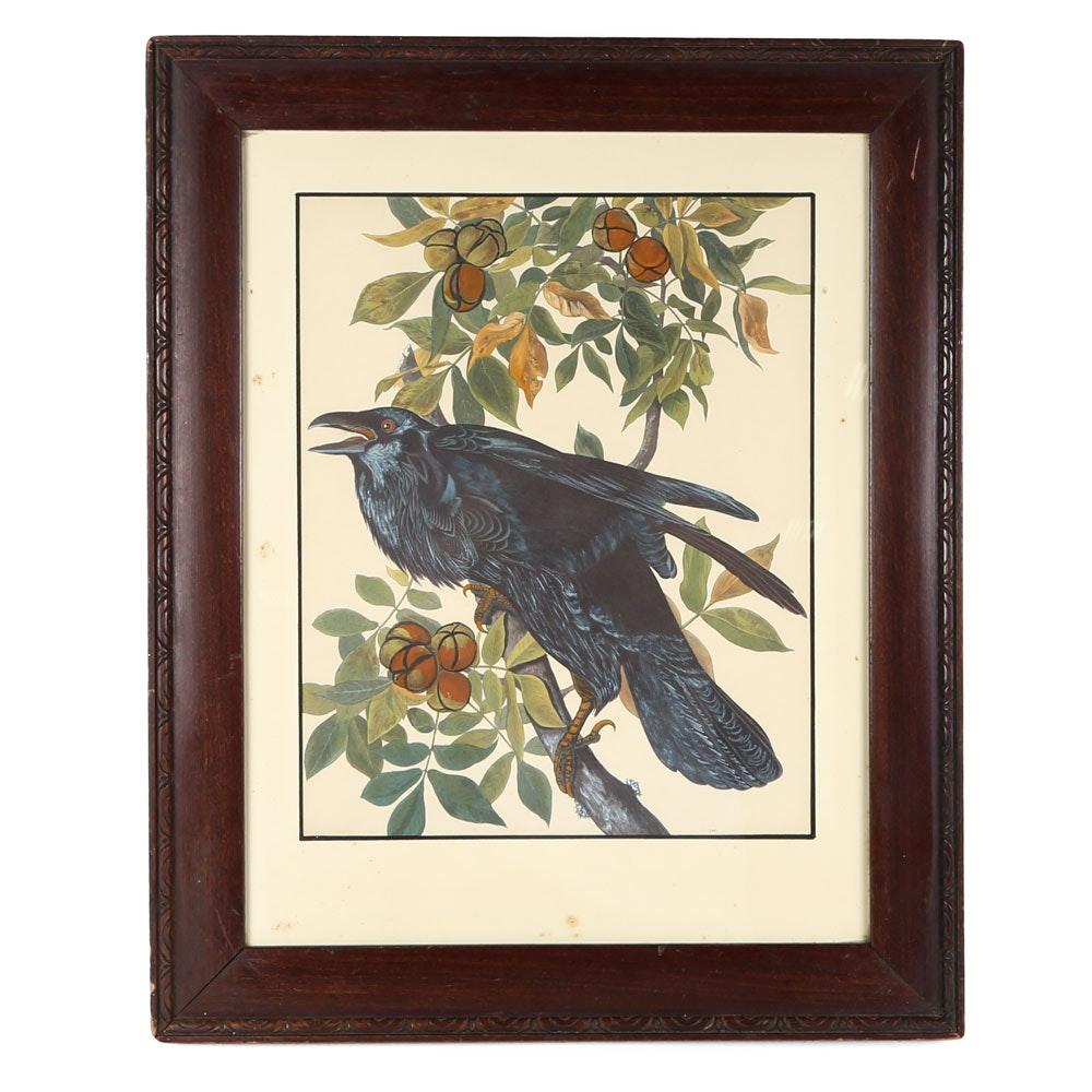 "After John James Audubon Offset Lithograph ""Raven"""
