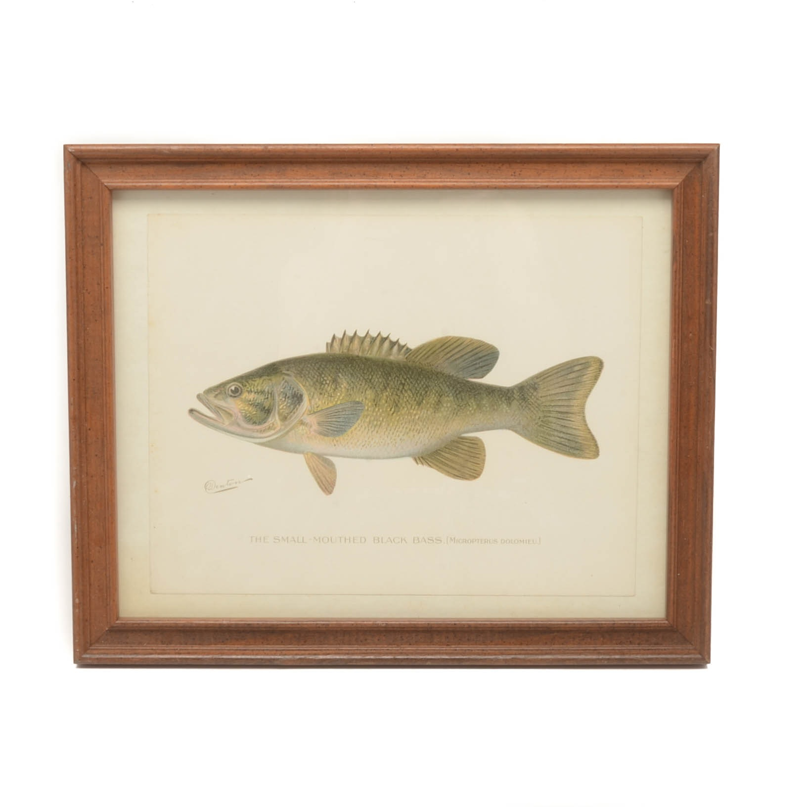 "Sherman Foote Denton Ichthyological Chromolithograph ""The Small-Mouthed Black.."""