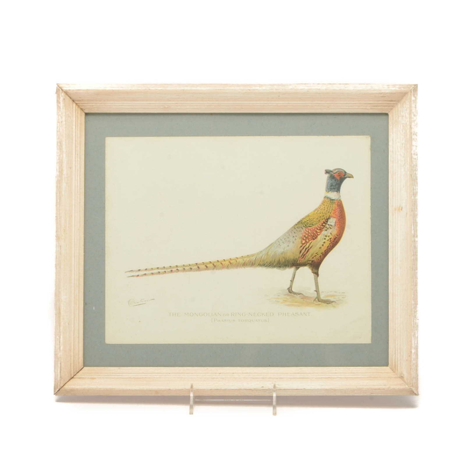 "Sherman Foote Denton Ornithological Chromolithograph ""The Mongolian or Ring..."""