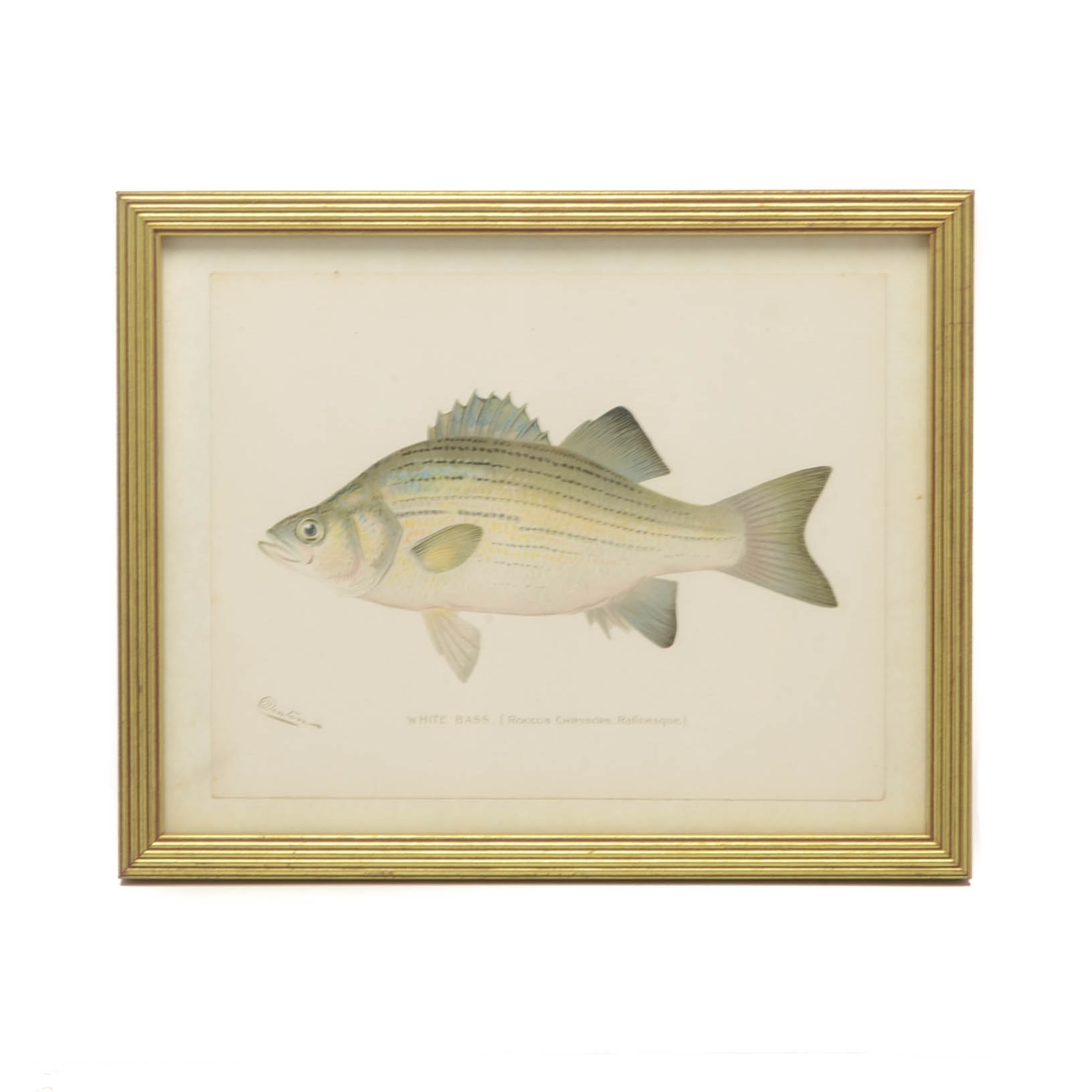 "Sherman Foote Denton Ichthyological Chromolithograph ""White Bass"""