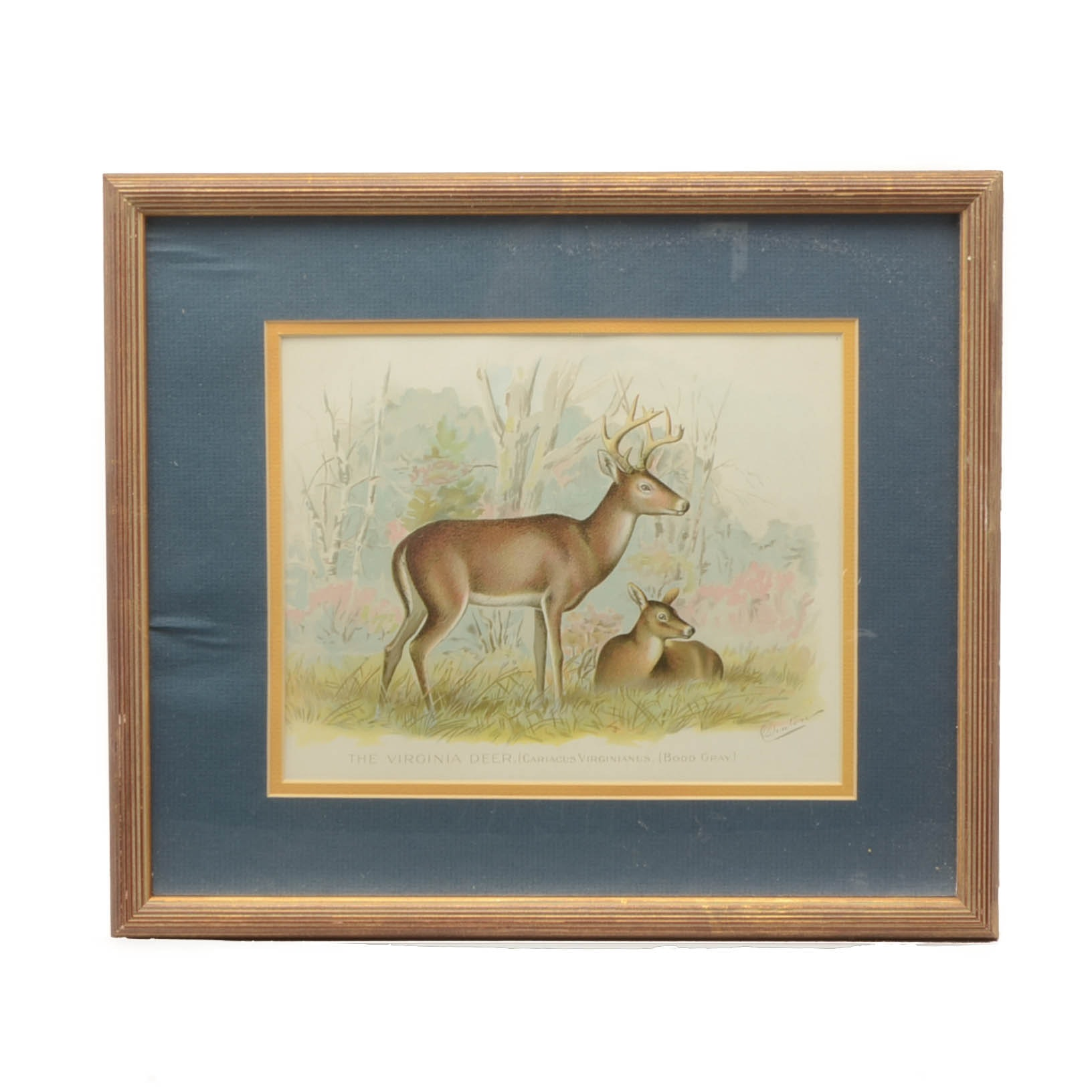 "Sherman Foote Denton Zoological Chromolithograph ""The Virginia Deer"""