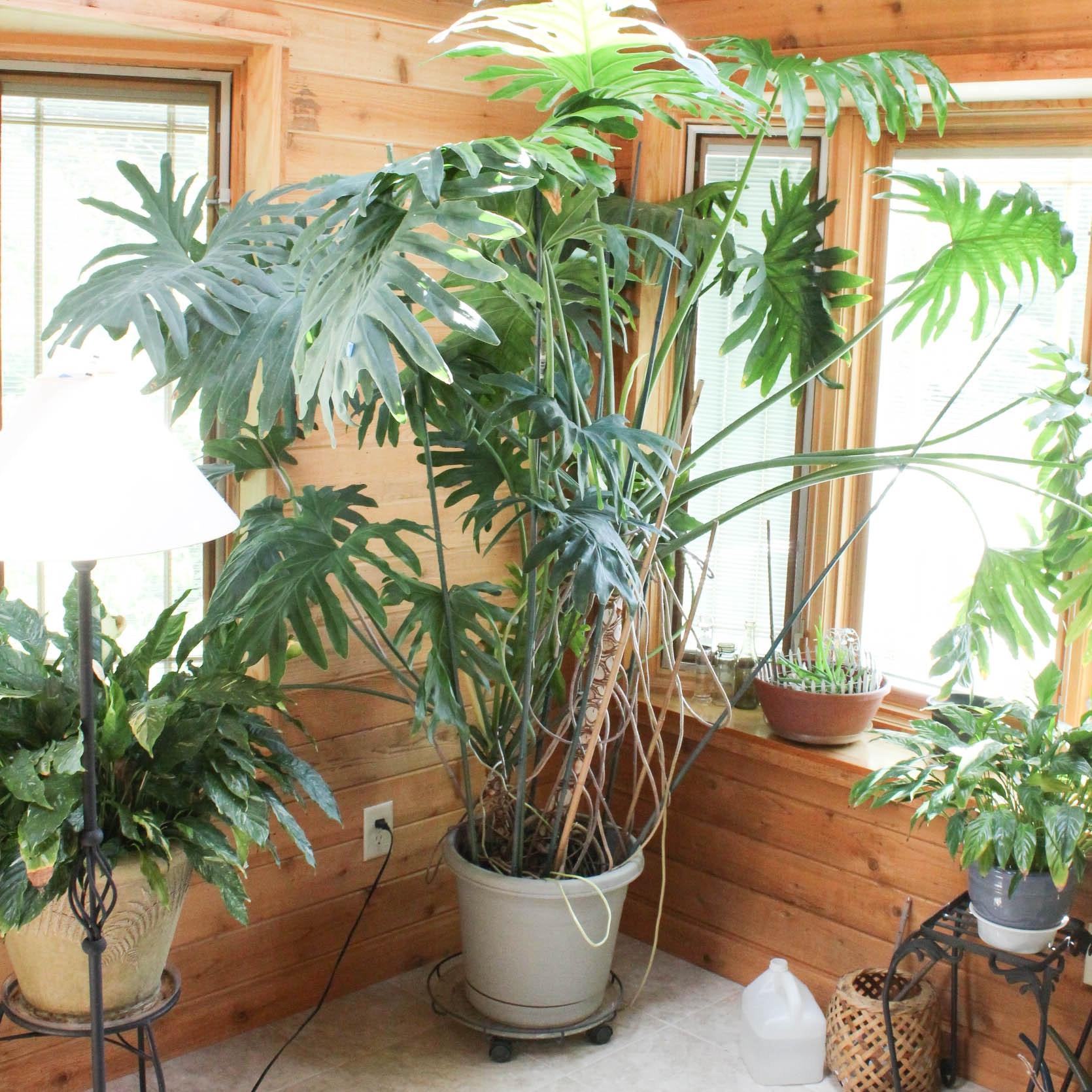 Large Philodendron Bipinnatifidum in Rolling Planter
