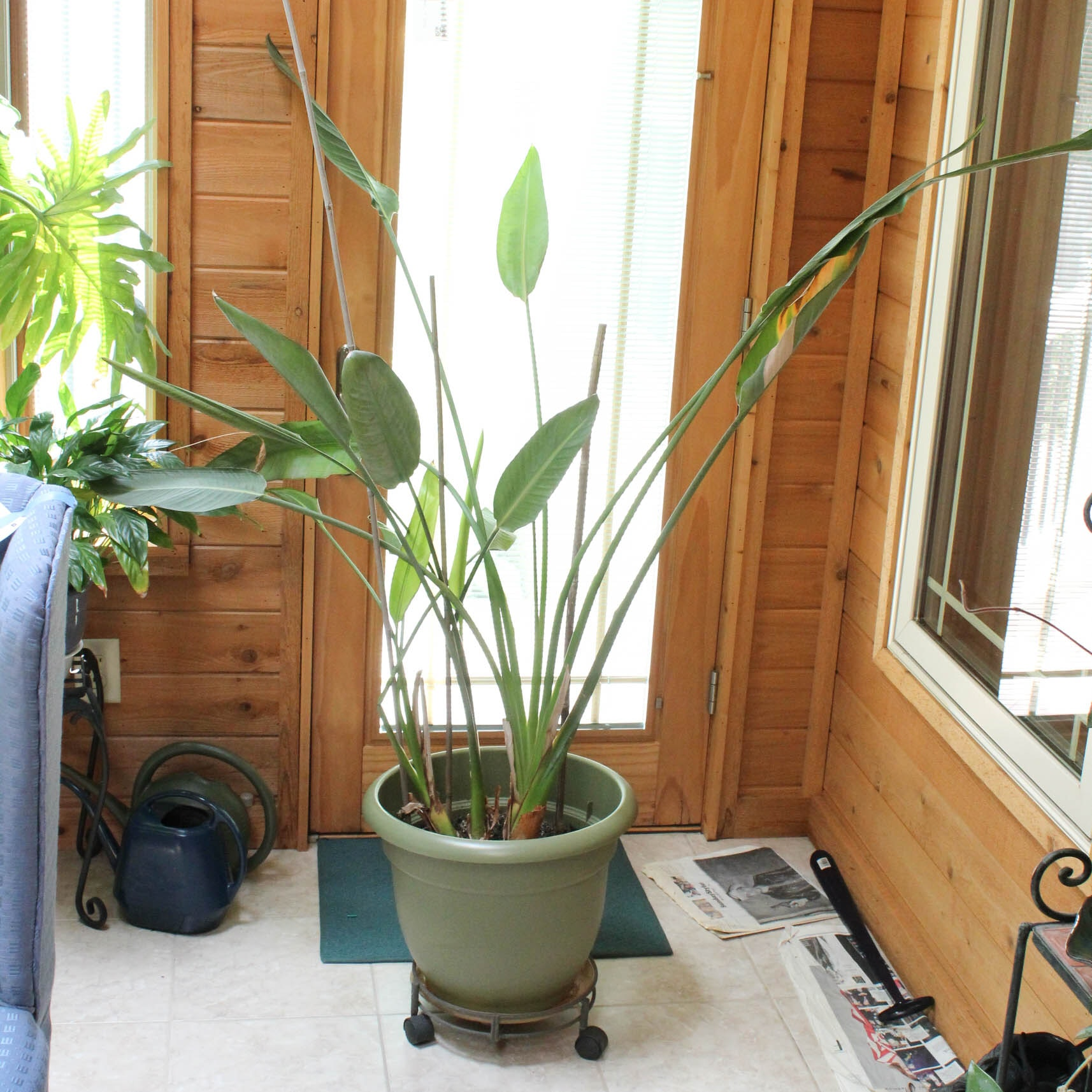 Large Tropical Plant in Rolling Planter