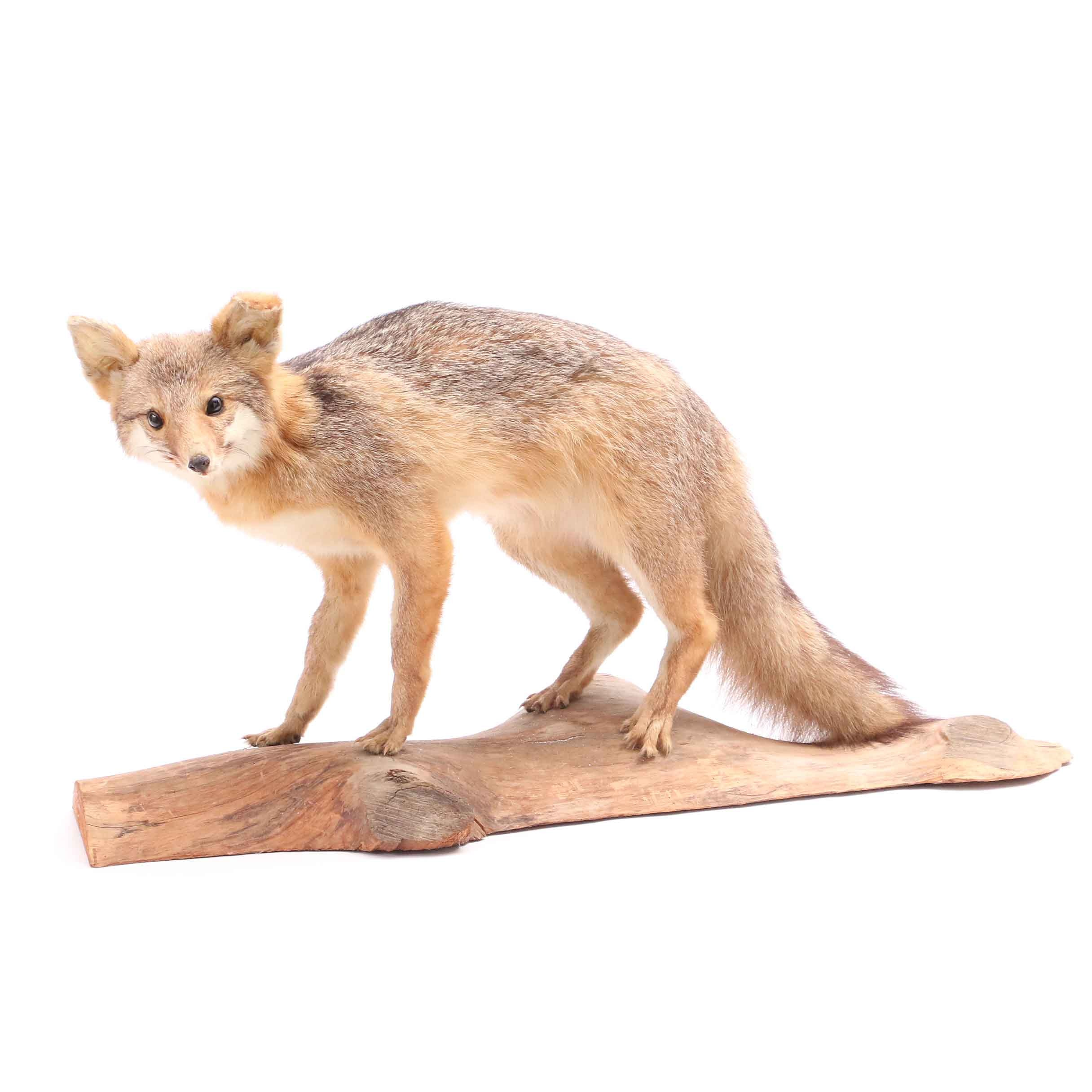 Full Mounted Red Fox