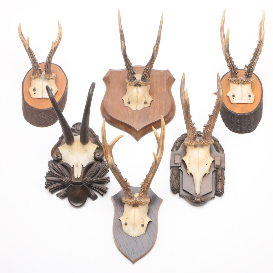 Taxidermy Mounted Skulls with Antlers