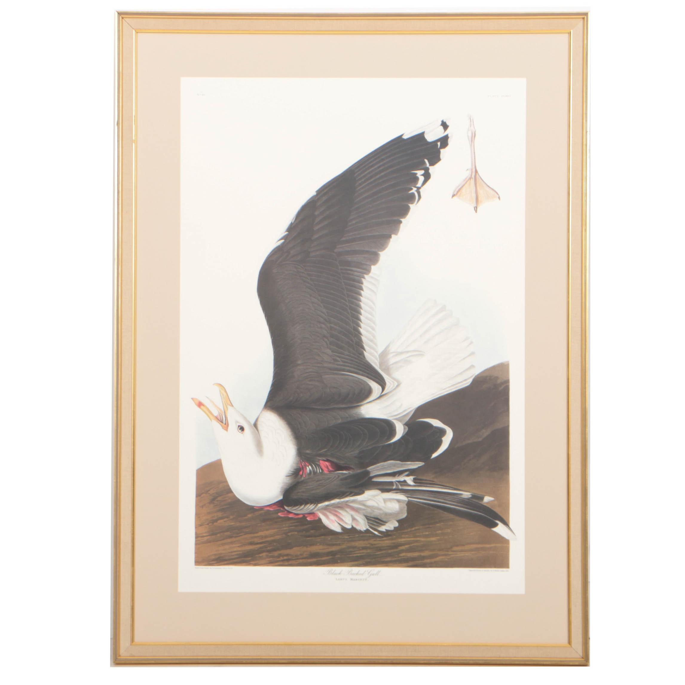 "After J.J. Audubon Offset Lithograph ""Black Backed Gull"""