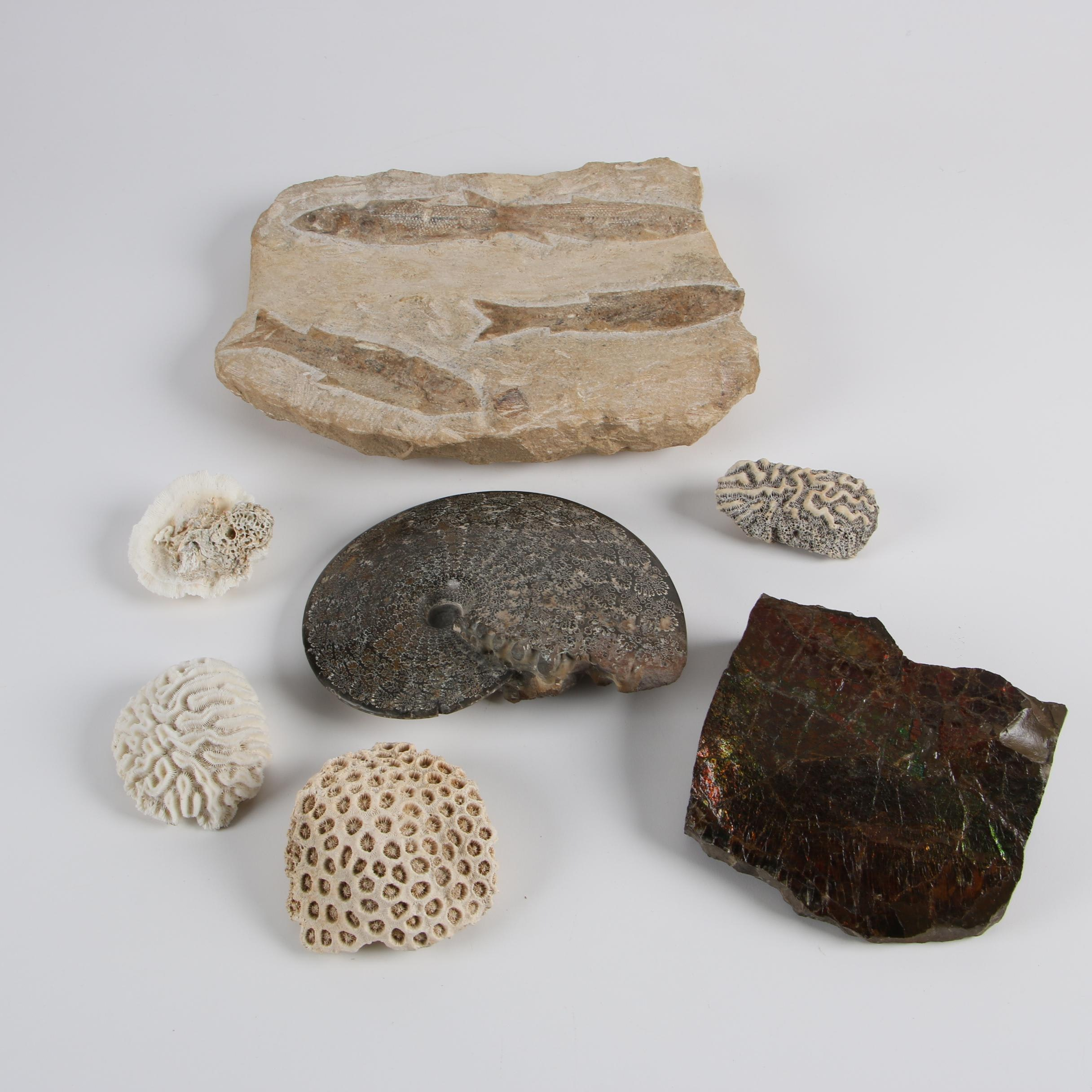 Coral, Fish and Ammonite Fossil Specimens and More