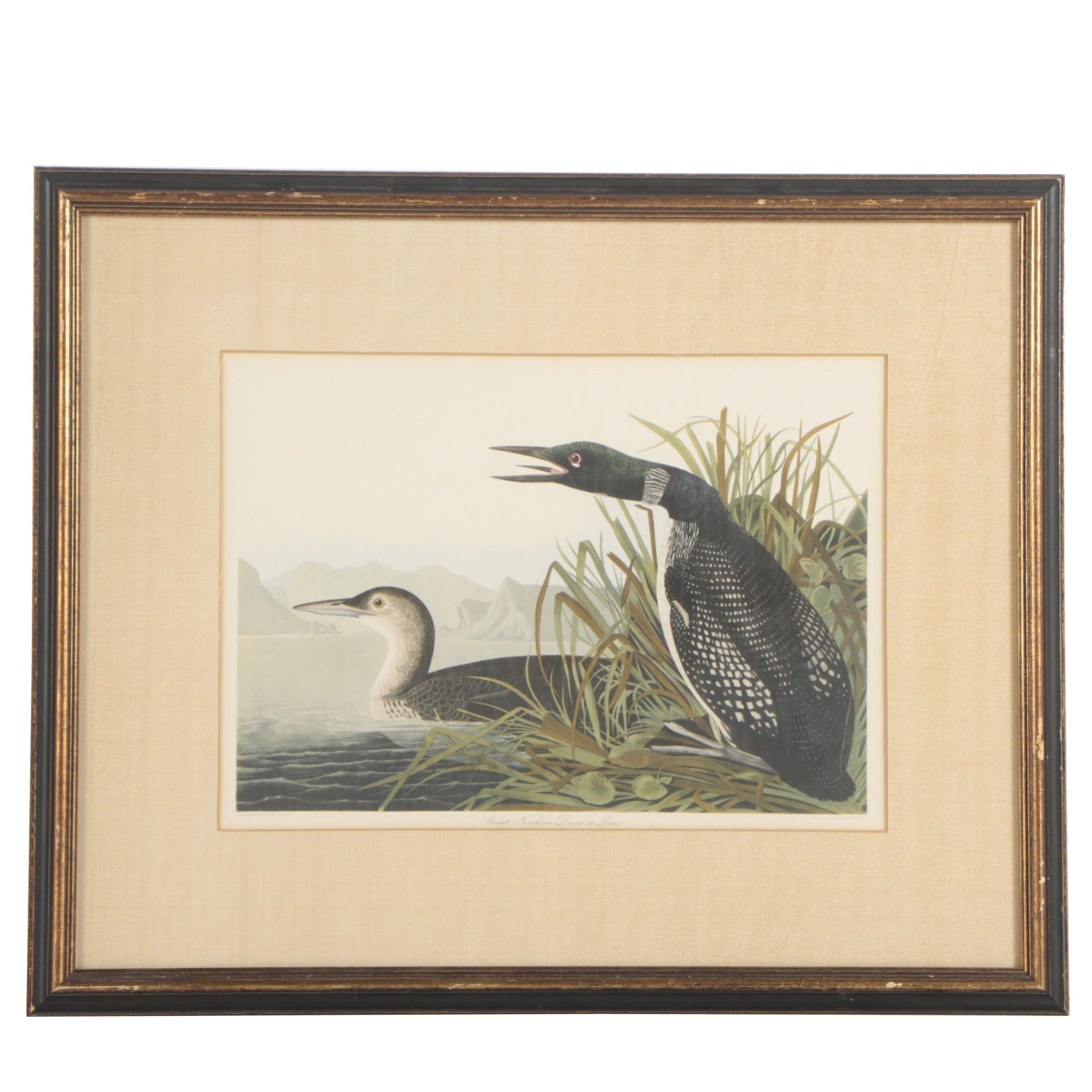 """Offset Lithograph after J.J Audubon """"Great Northern Diver or Loon"""""""