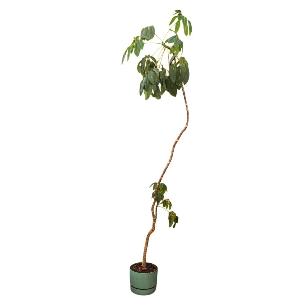 Umbrella Tree Plant